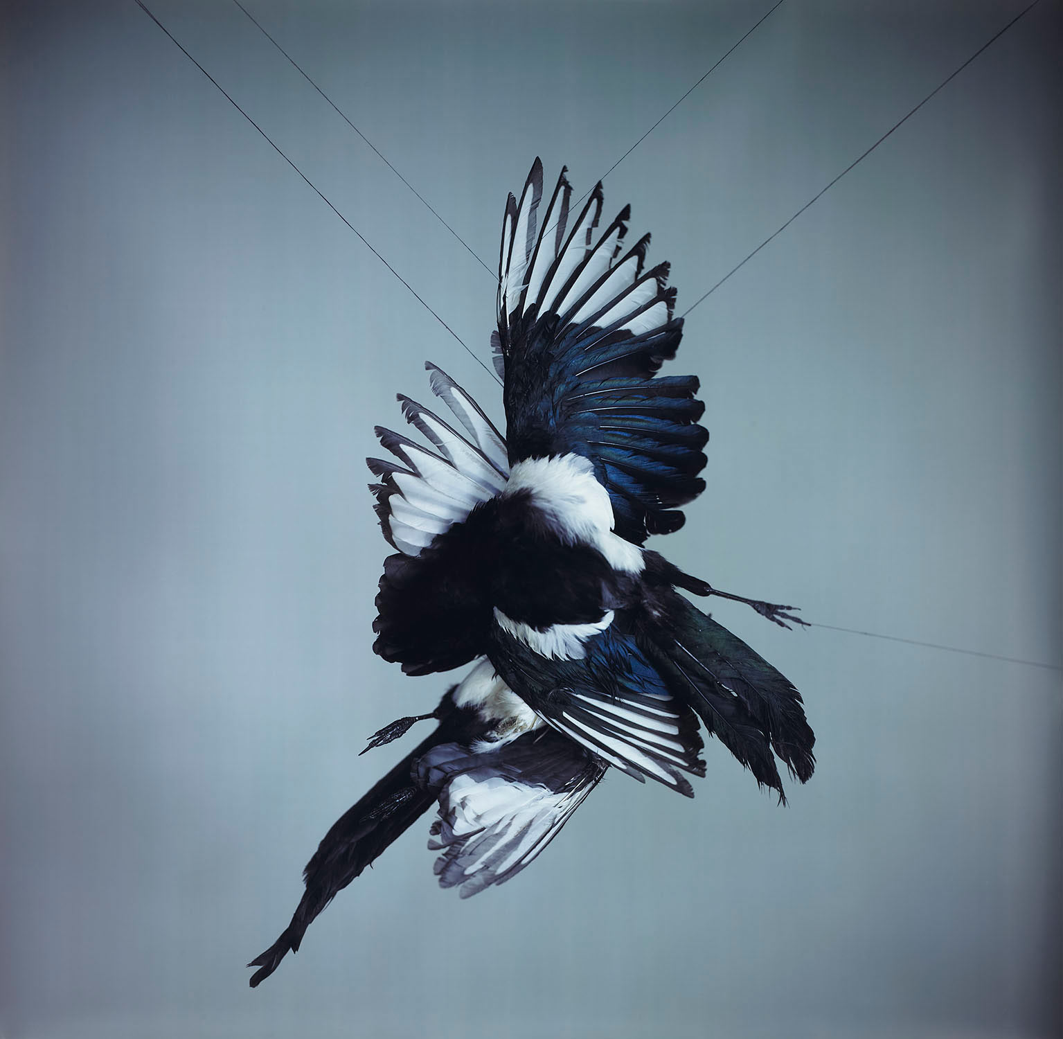 A Murder of Magpies (Color), 2013.