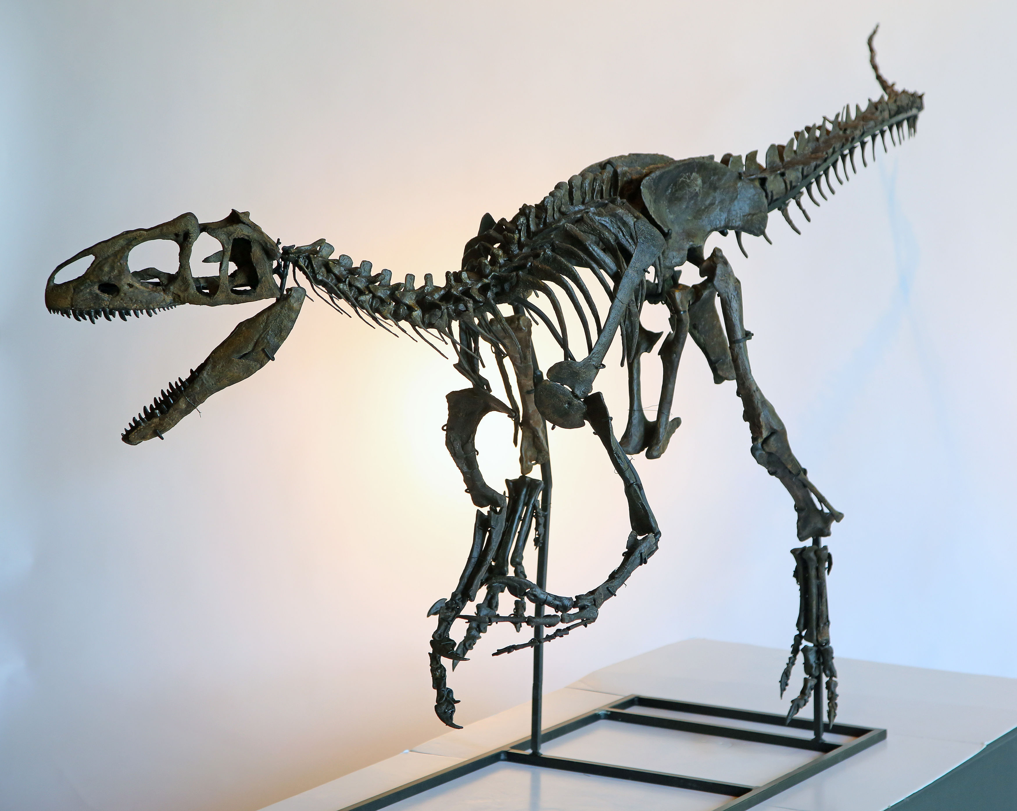 A rare skeleton of a juvenile Allosaurus dinosaur at Summers Place Auctions in West Sussex, England is set to fetch up to £500,000 at an auction in November.