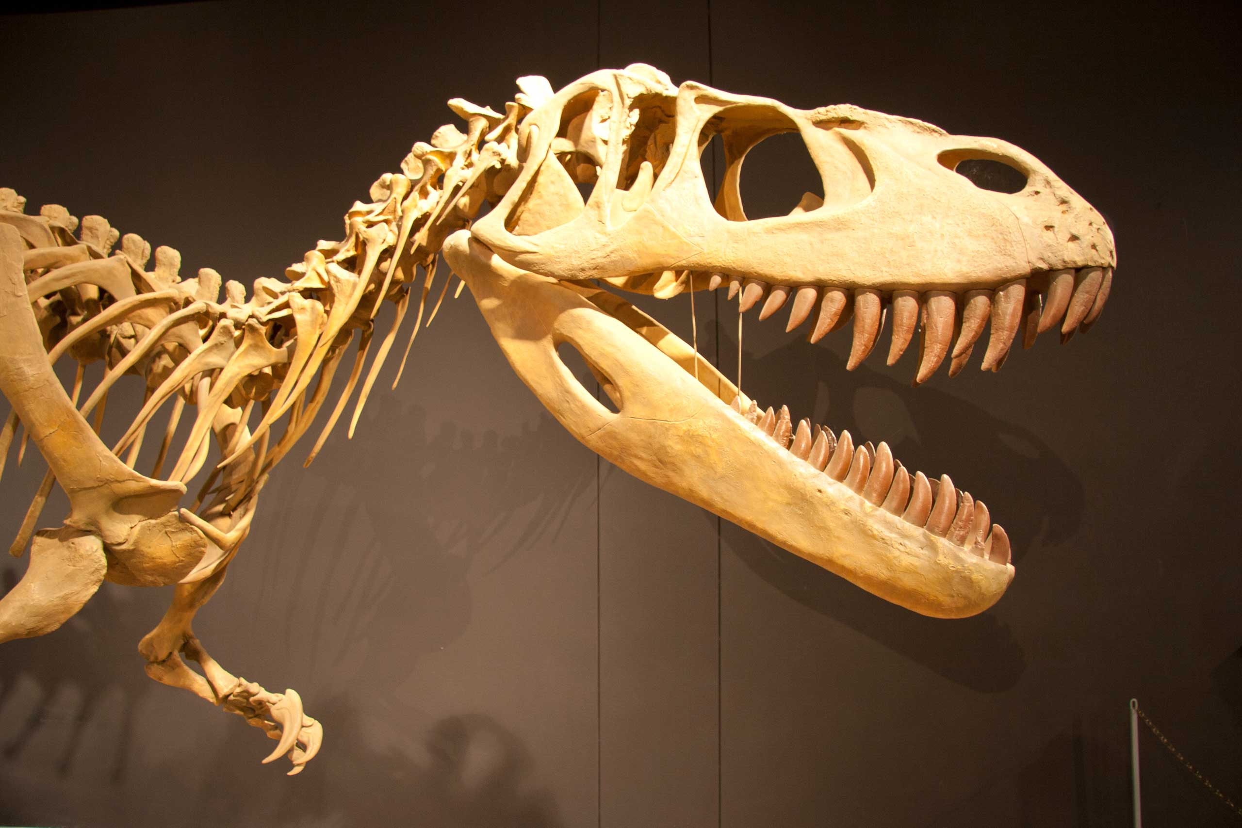 Torvosaurus skeleton at Mesalands Dinosaur Museum, along Route 66.