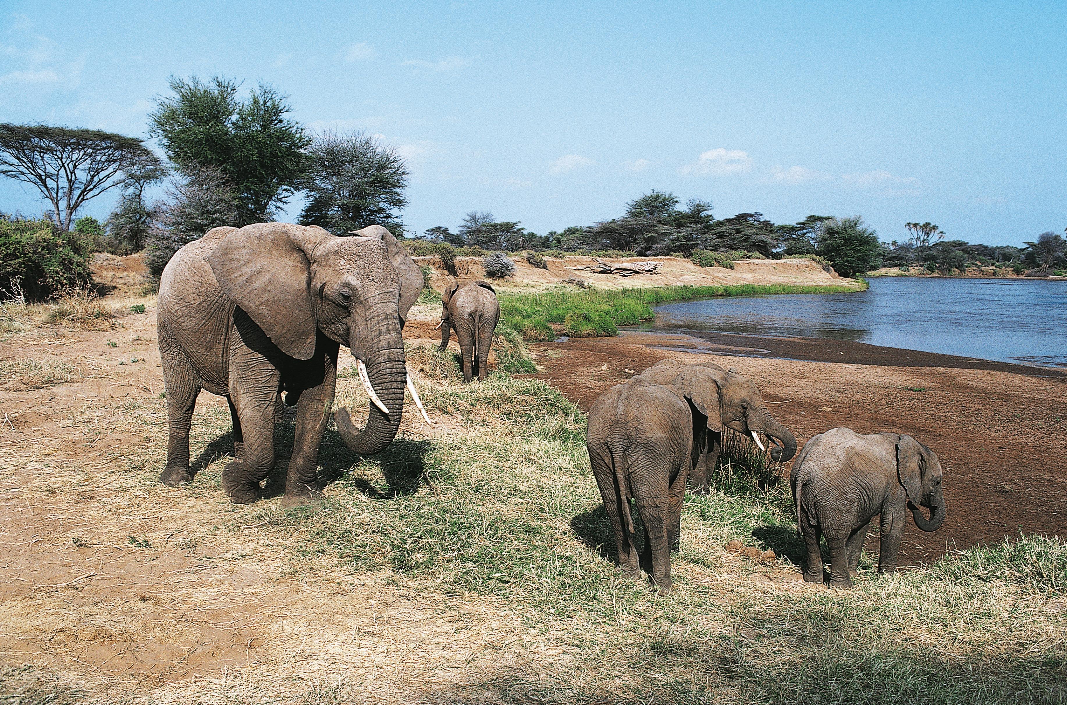 African bush elephants (Loxodonta africana)