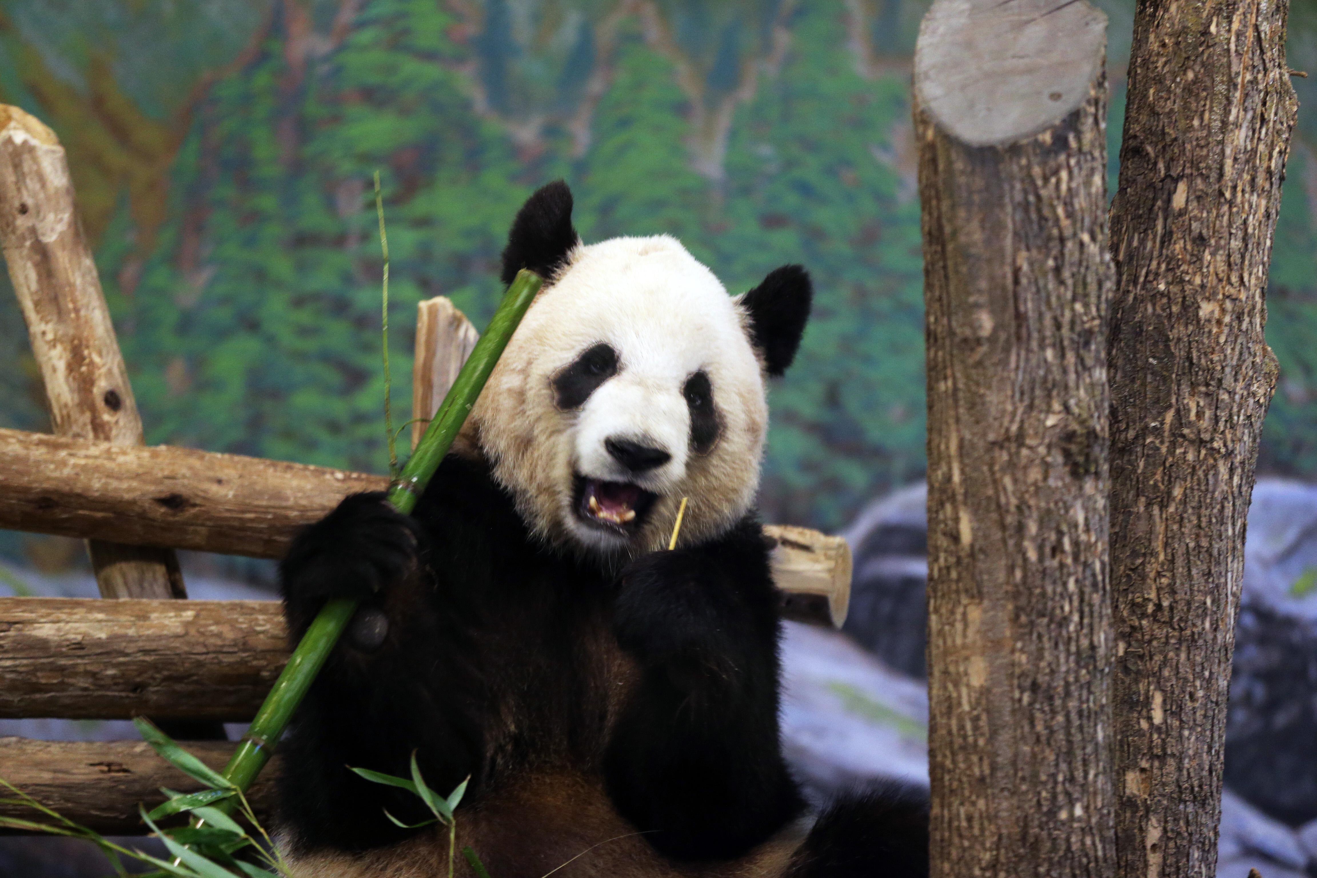 Panda Er Shun at the Toronto Zoo on April 29, 2014.