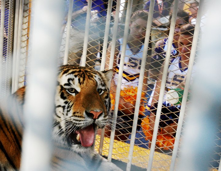 LSU mascot Mike VI, a Bengal/Siberian mixed tiger, is displayed on the field before the Florida Gators take on the LSU Tigers at Tiger Stadium in Baton Rouge, La. on Oct. 6, 2007.