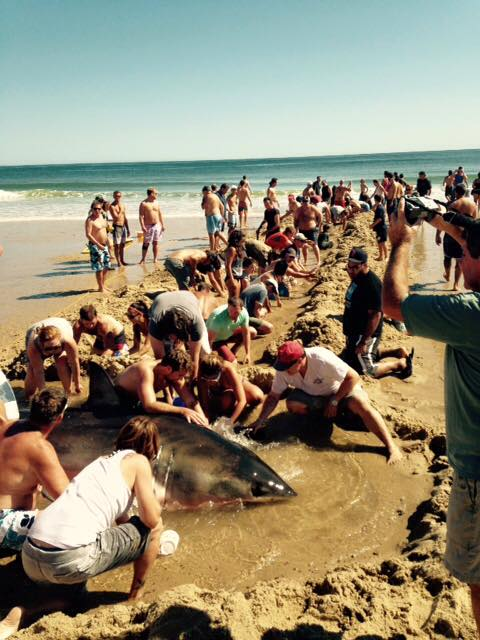 Beach goers formed a bucket brigade to try to keep the shark alive on Sept. 6, 2015 in Whitecrest Beach, Mass.