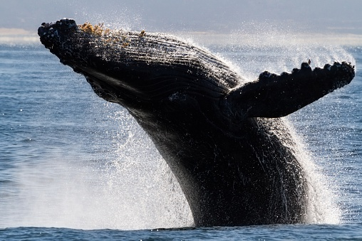 A humpback whale jumps in the ocean by Moss Landing, Monterey, Calif.