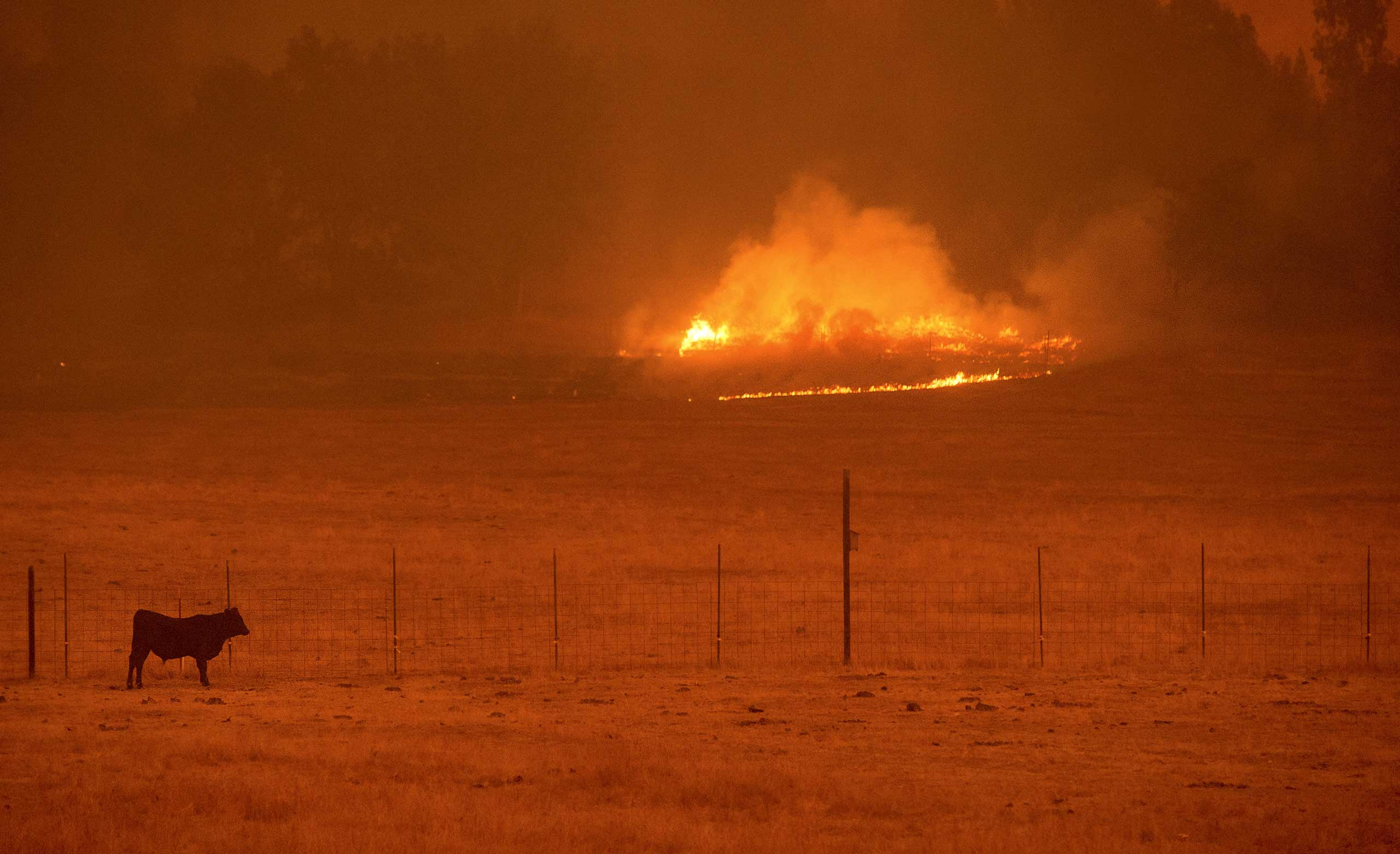 A cow grazes in a pasture as the Butte Fire burns Mountain Ranch, California September 11, 2015.