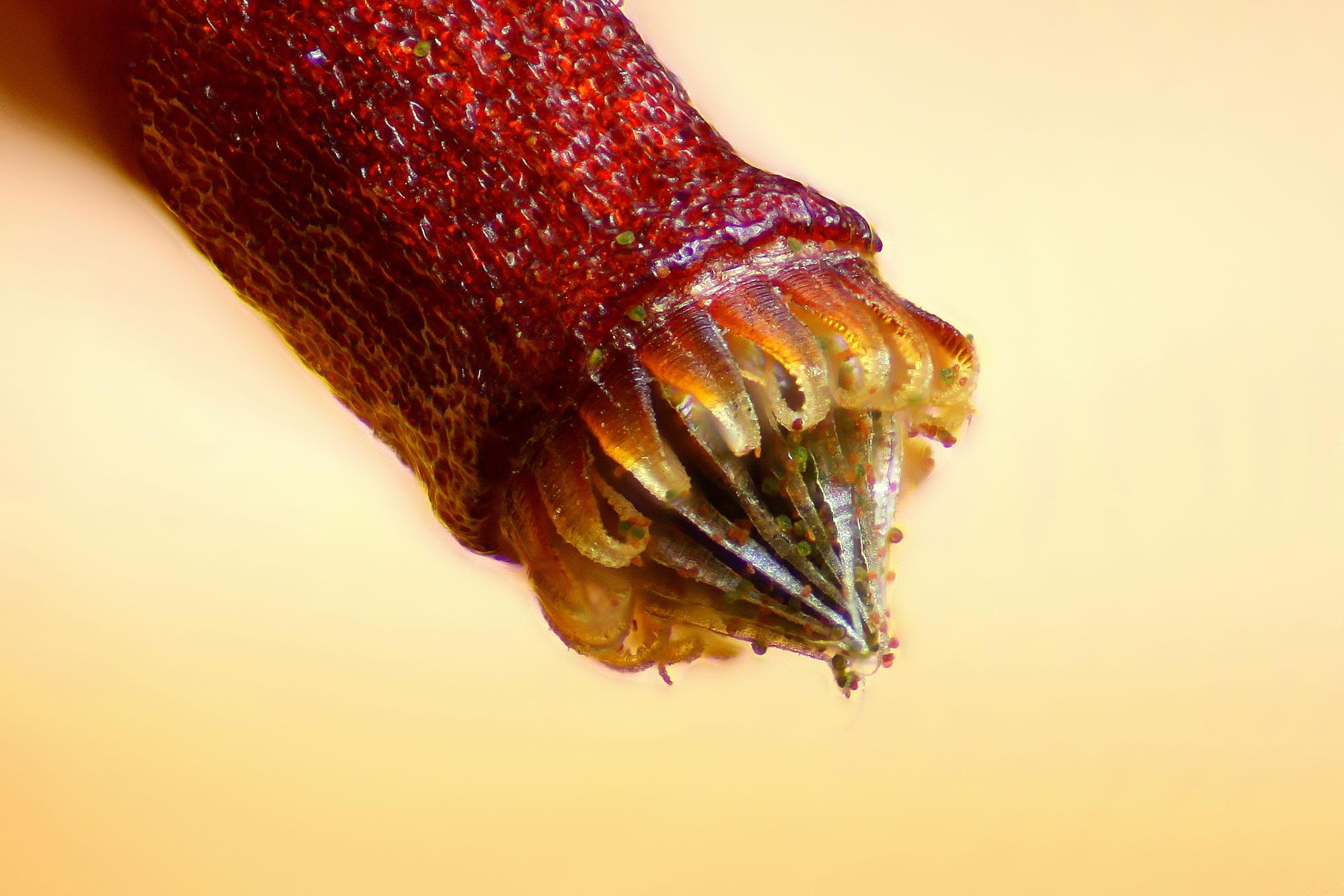 Spore capsule of a moss (Bryum sp.)