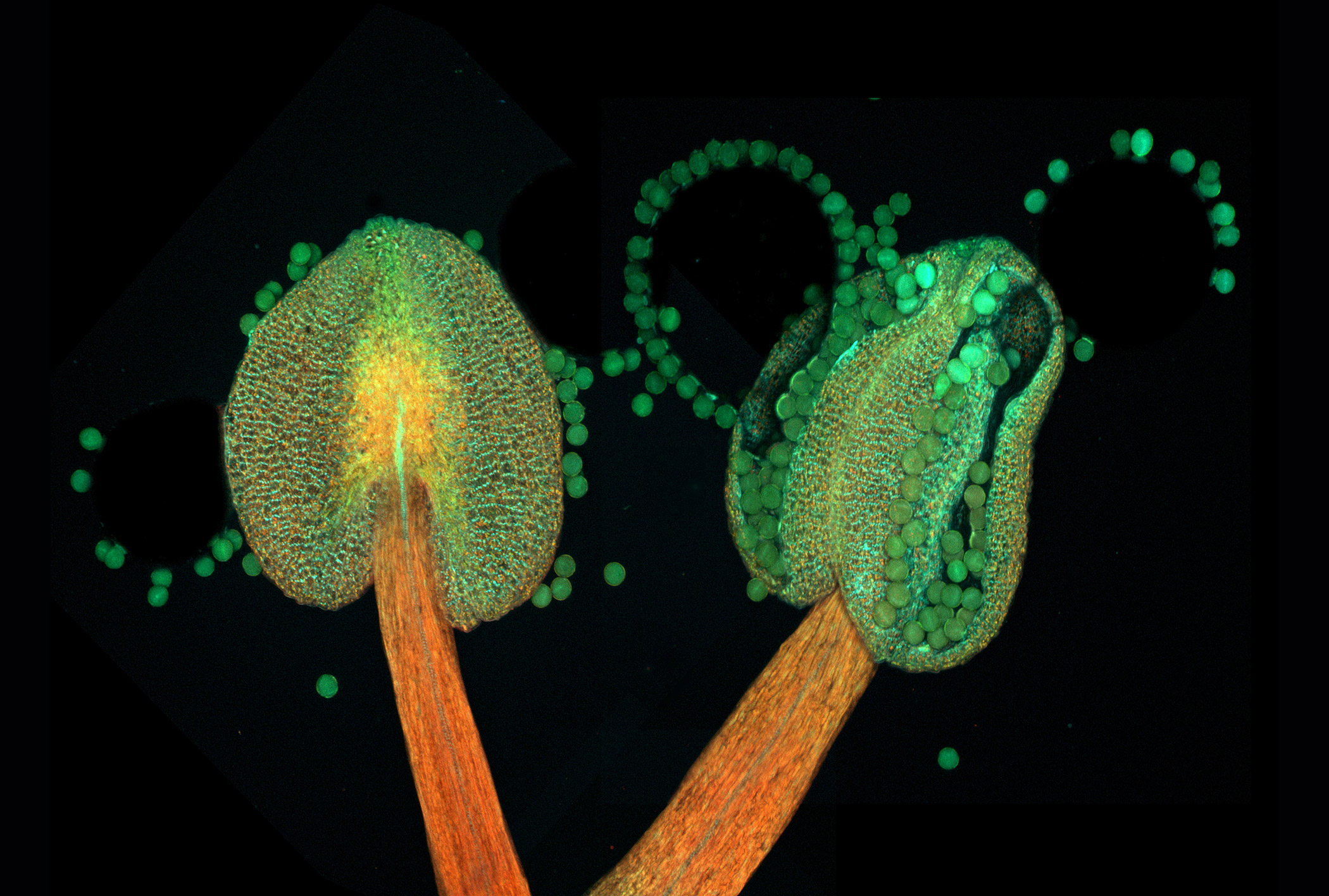 Anther of a flowering plant (Arabidopsis thaliana) at 20x magnification.