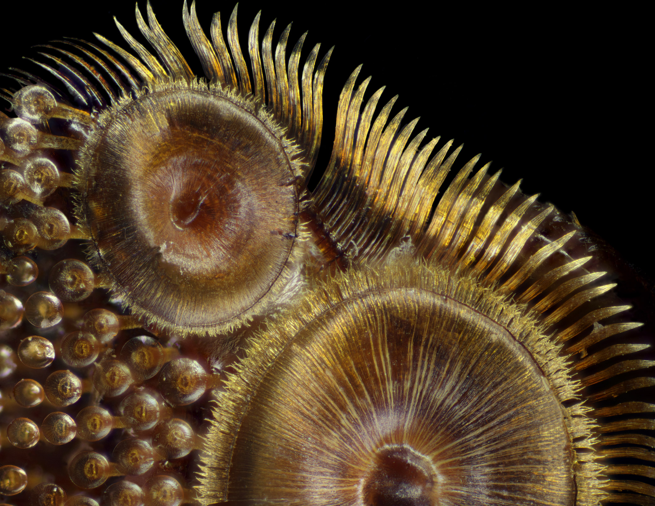 Suction cups on the diving beetle (Dytiscus sp.) foreleg at 50x magnification.