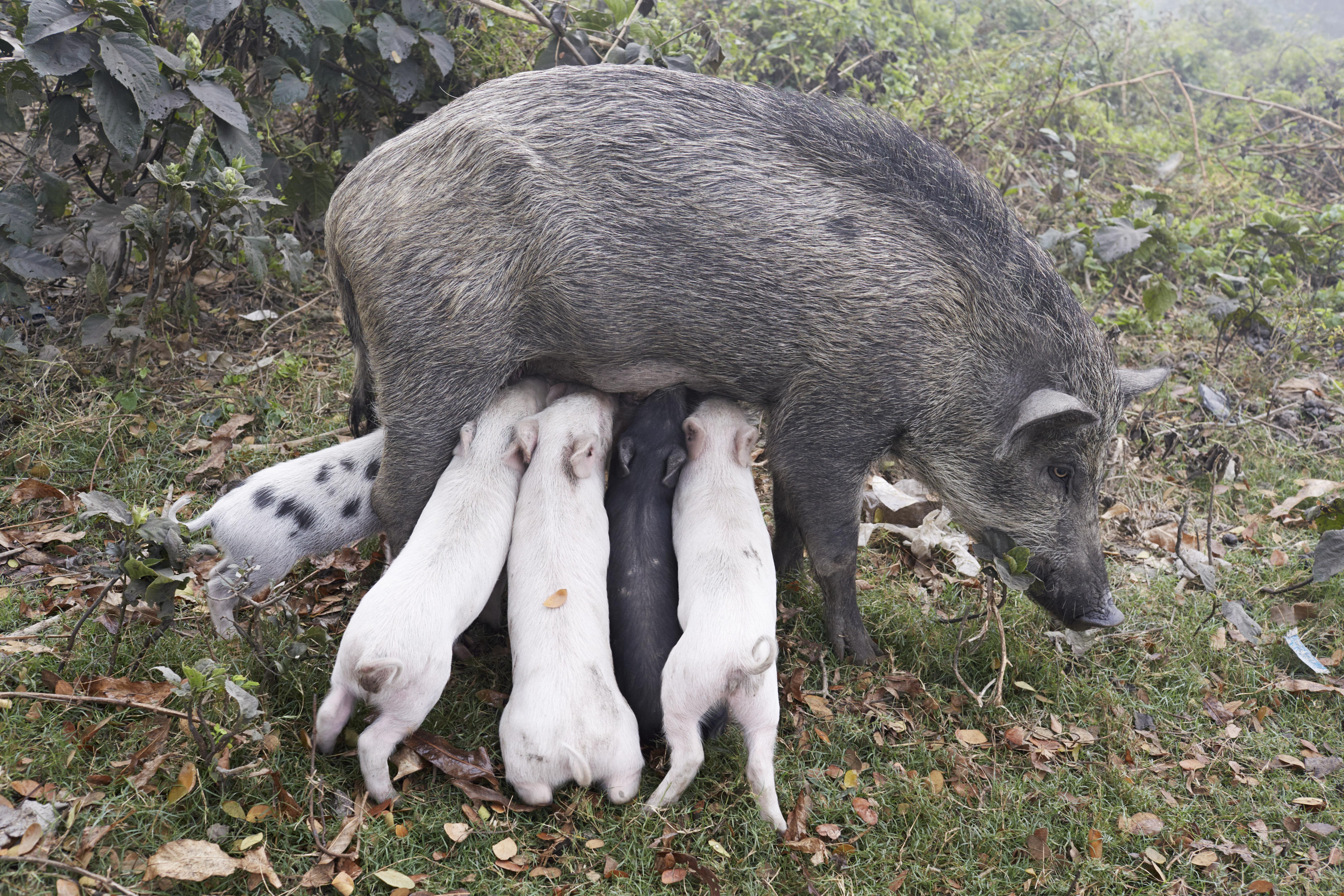Wildschweinmutter, Kolkata, India 2014.