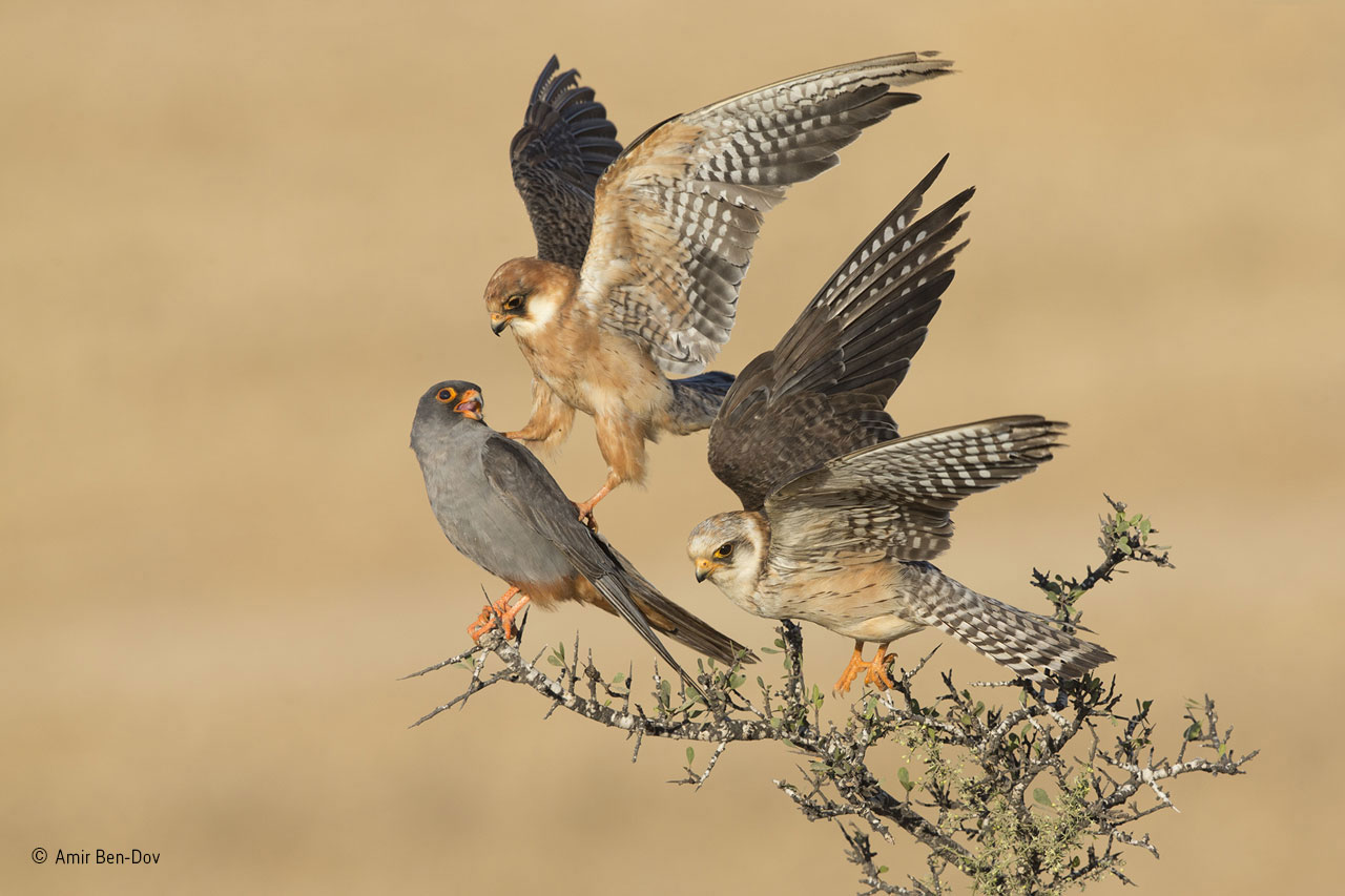 Birds category winner: The Company of Three. Red-footed falcons are social birds, migrating in large flocks from central and eastern Europe to southern and southwestern Africa. The closest relationships seem to be pairs or parents with first-year chicks, but otherwise, they maintain a degree of personal space. But these three red-footed falcons were different. Amir spent six days watching them on agricultural land near Beit Shemesh, Israel, where their flock was resting on autumn migration, refuelling on insects. What fascinated him was the fact that two subadult females and the full‐ grown, slate-grey male were spending most of their time together, the two females often in close physical contact, preening and touching each other. They would also hunt together from a post rather than using the more normal hovering technique. As so often happens in photography, it was on the last day in the last hour before he had to return home when the magic happened. The sun came out, the three birds perched together, and a subtle interaction took place: one female nudged the male with her talon as she flew up to make space on the branch for the other female. Exactly what the relationship was between the three birds remains a mystery.