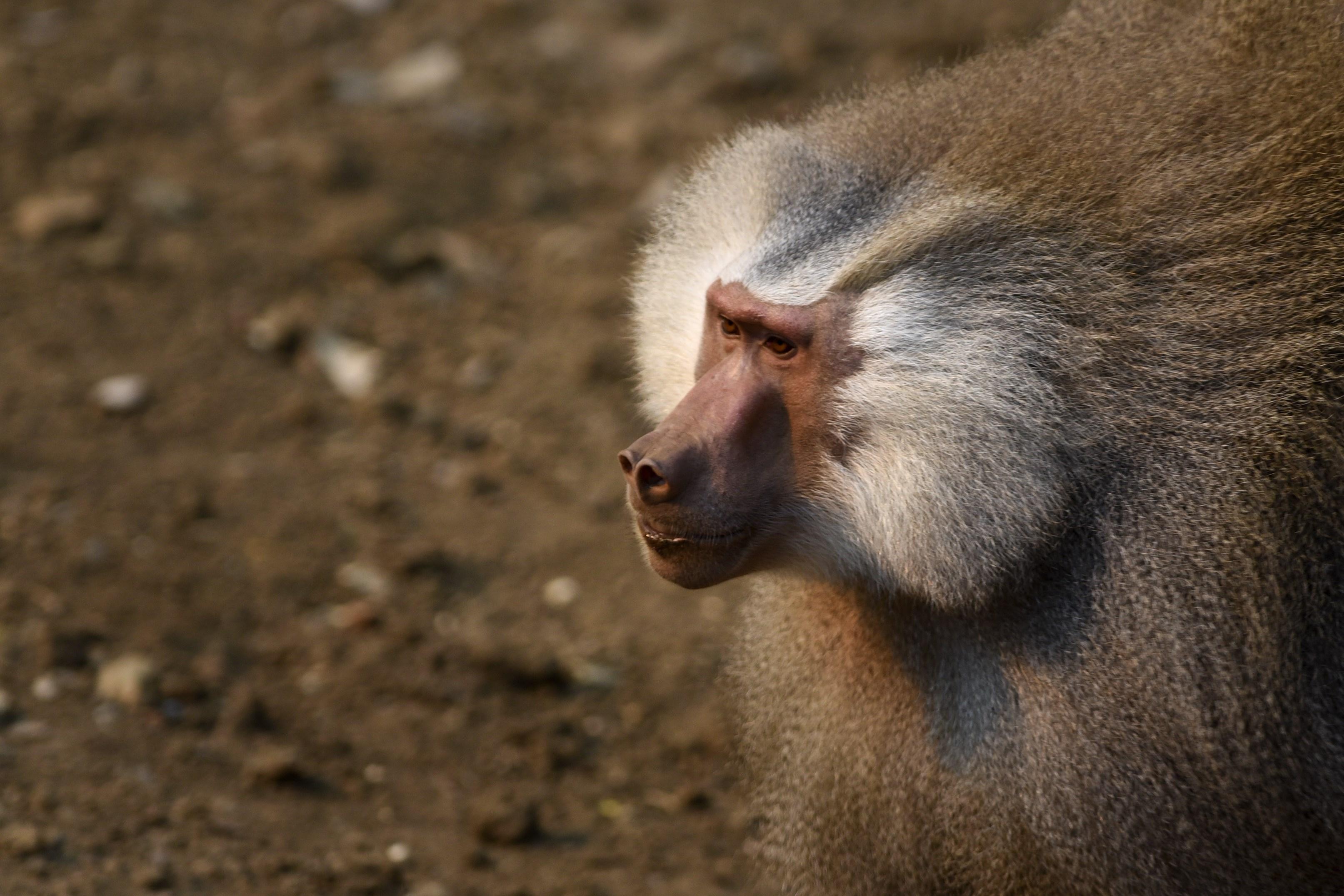 A baboon monkey (Papio hamadryas).
