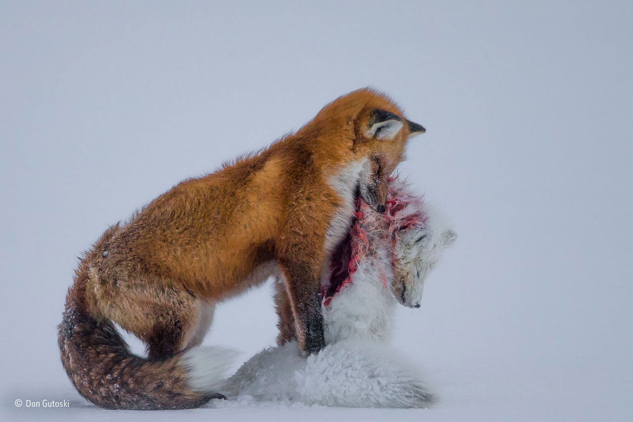 Wildlife Photographer of the Year and Mammals category winner: A Tale of Two Foxes. It's a frozen moment revealing a surprising behaviour, witnessed in Wapusk National Park, on Hudson Bay,                               Canada, in early winter. Red foxes don't actively hunt Arctic foxes, but where the ranges of two predators overlap, there can be conflict. In this case, it led to a deadly attack. Though the light was poor, the snow-covered tundra provided the backdrop for the moment that the red fox paused with the smaller fox in its mouth in a grim pose.