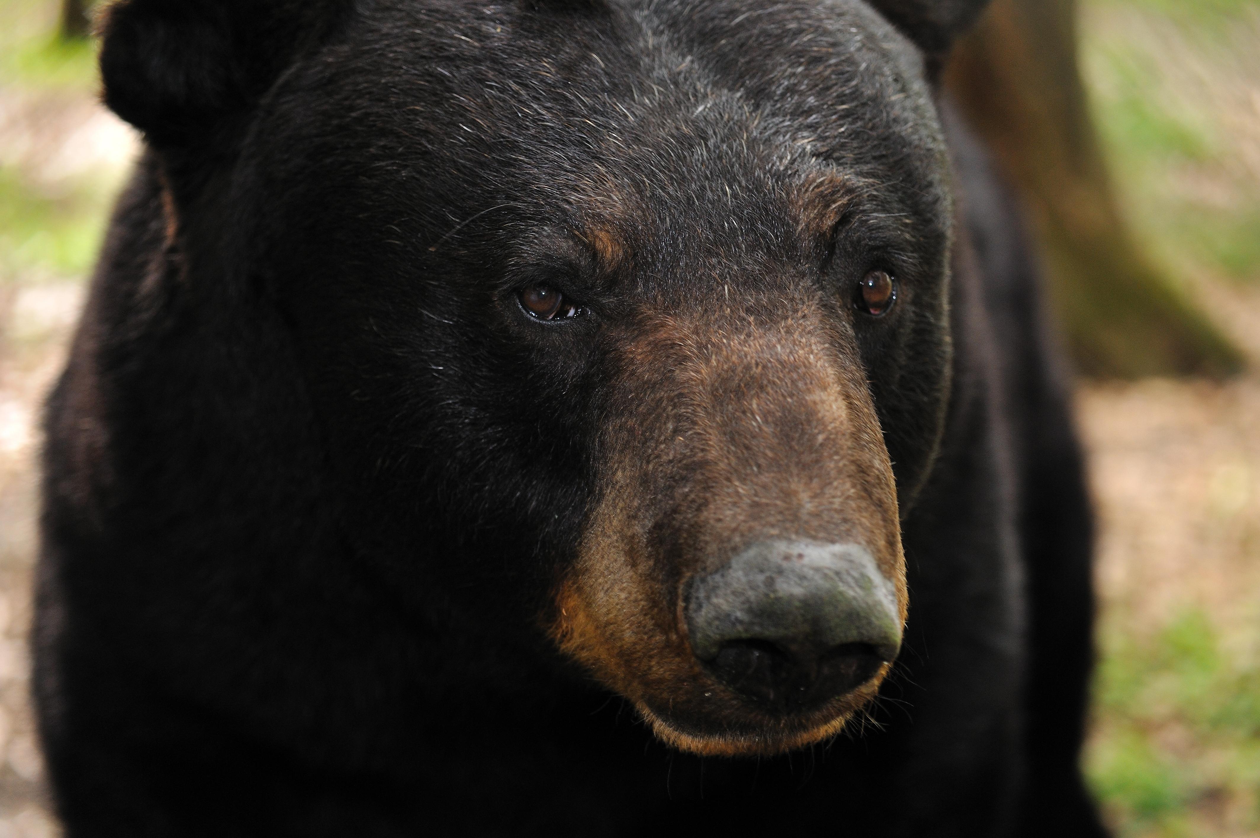 Black bear (Ursus americanus) captive, Fla.
