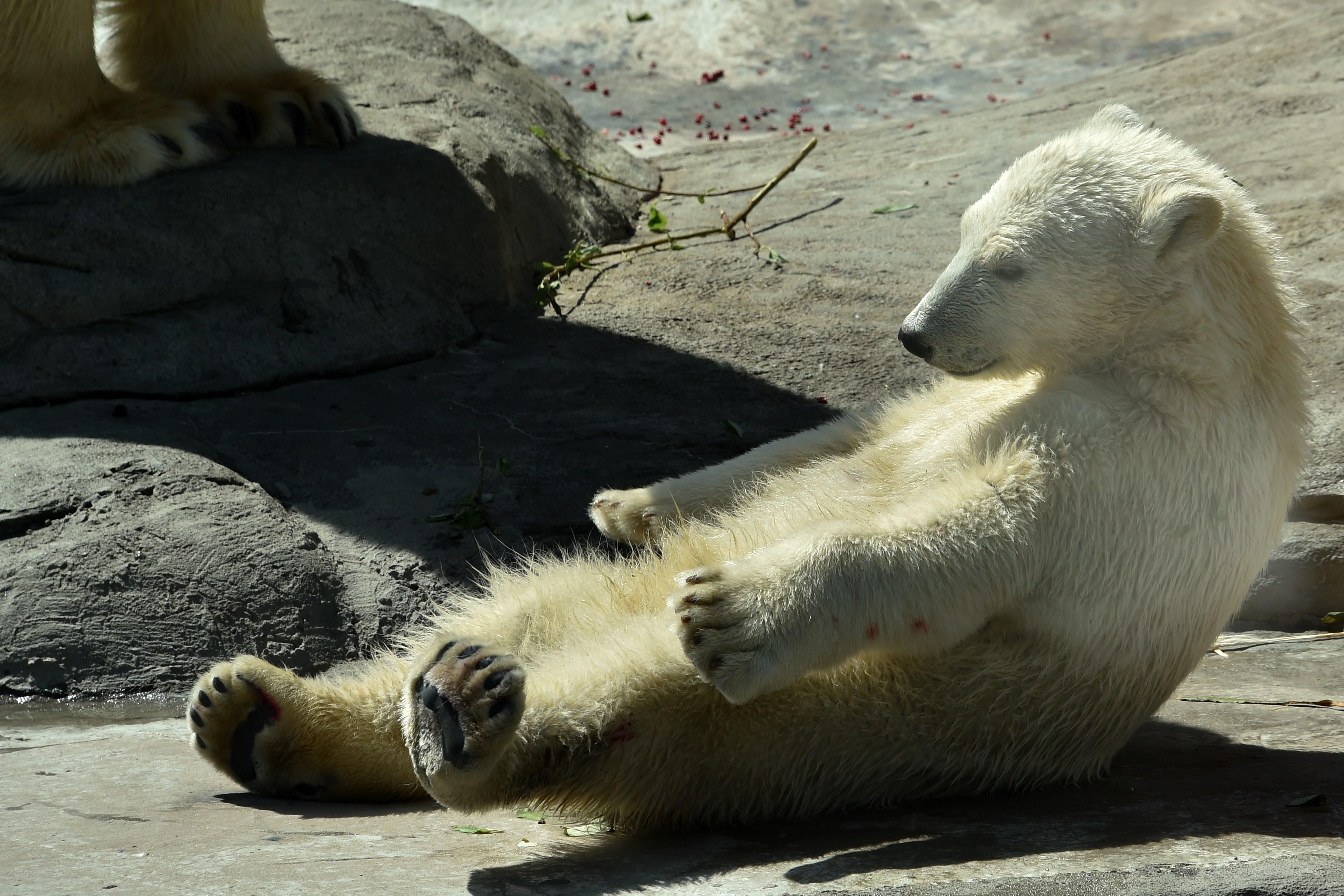 A polar bear cub takes a sun bath at Moscows Zoo on May 27, 2015.