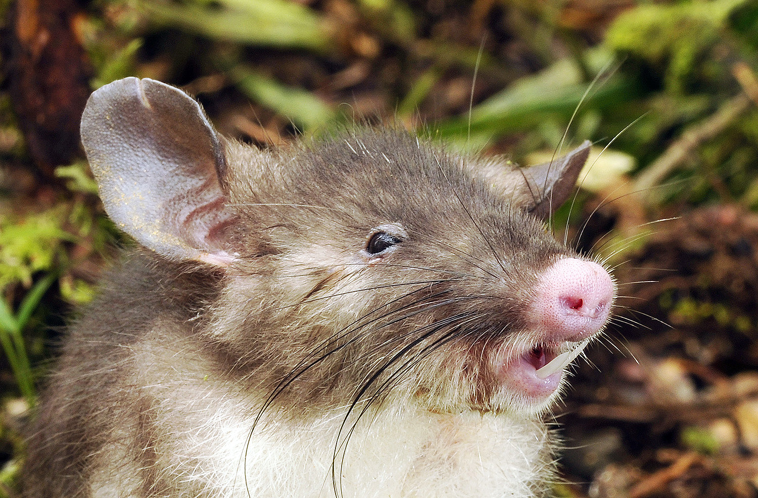 This newly discovered species of rat is called Hyorhinomys stuempkei, or the hog-nosed rat