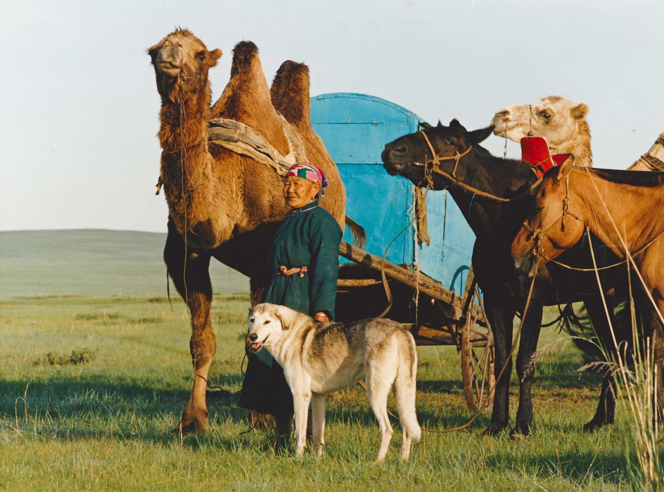 A Mongolian woman with her caravan of animals about to travel to the Galshar Naadam, Khentii Province, Mongolia.