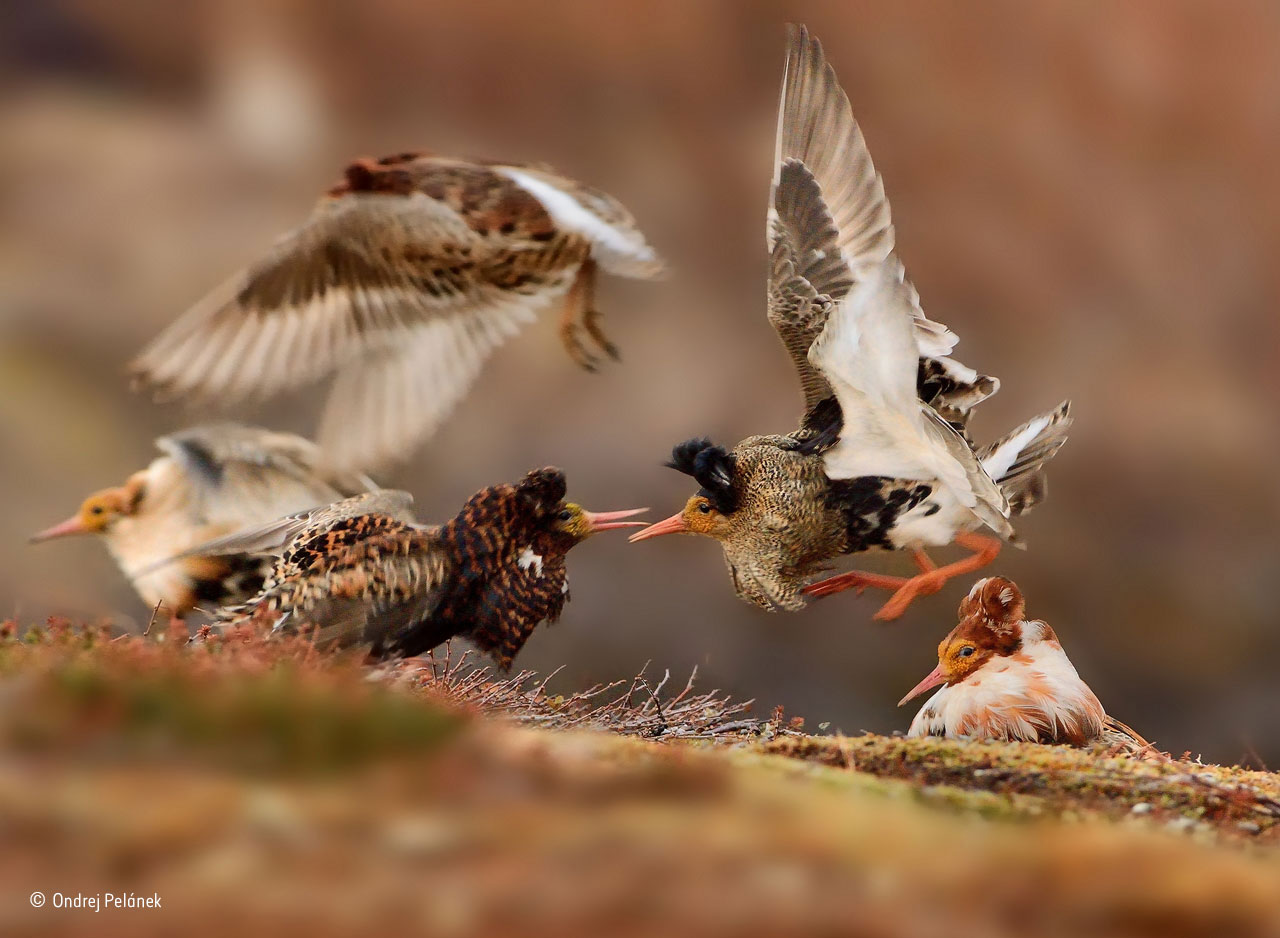 Young Wildlife Photographer of the Year and Young Wildlife Photographers, 11–14 years old winner: Ruffs on Display. On their traditional lek ground – an area of tundra on Norway's Varanger Peninsula – territorial male ruffs in full breeding plumage show off their ruffs to each other, proclaiming ownership of their courtship areas. Ondrej took his winning shot as one male leapt up, warning off his neighbours. Ruffs are unusual in that breeding males behave according to their plumage colours. Those with dark plumage perform on territories. Ones with white ruffs, known as satellite males (far left and far right), don't hold territories but display on the outside of the lek or form uneasy alliances with territory-holding males, helping them to entice females in the hope of grabbing a sneaky mating if the opportunity arises. A third type of 'sneaky male' disguises itself as a female.