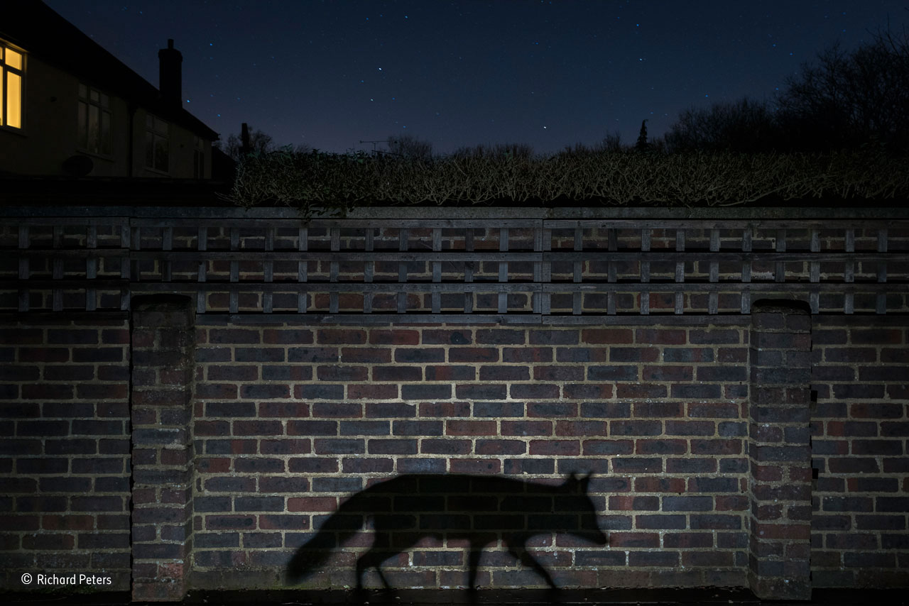 Urban category winner: Shadow Walker. A snatched glimpse or a movement in the shadows is how most people see an urban fox, and few know when and where it goes on its nightly rounds. It was that sense of living in the shadows that Richard wanted to convey. He had been photographing nocturnal wildlife in his back garden in Surrey, England, for several months before he had the idea for the image, given to him by the fox when it walked through the beam of a torch he had set up, casting its profile on the side of his shed. But taking the shot proved to be surprisingly difficult. It required placing the tripod where he could capture both the cityscape night sky and the fox silhouette, a ground-level flash for a defined shadow, a long exposure for the stars, a moonless night to cut down on the ambient light and, of course, the fox to walk between the camera and the wall at the right distance to give the perfect shadow. On the evening of this shot, the neighbors switched on a light just before the vixen arrived, unaware of her presence but adding to the image.