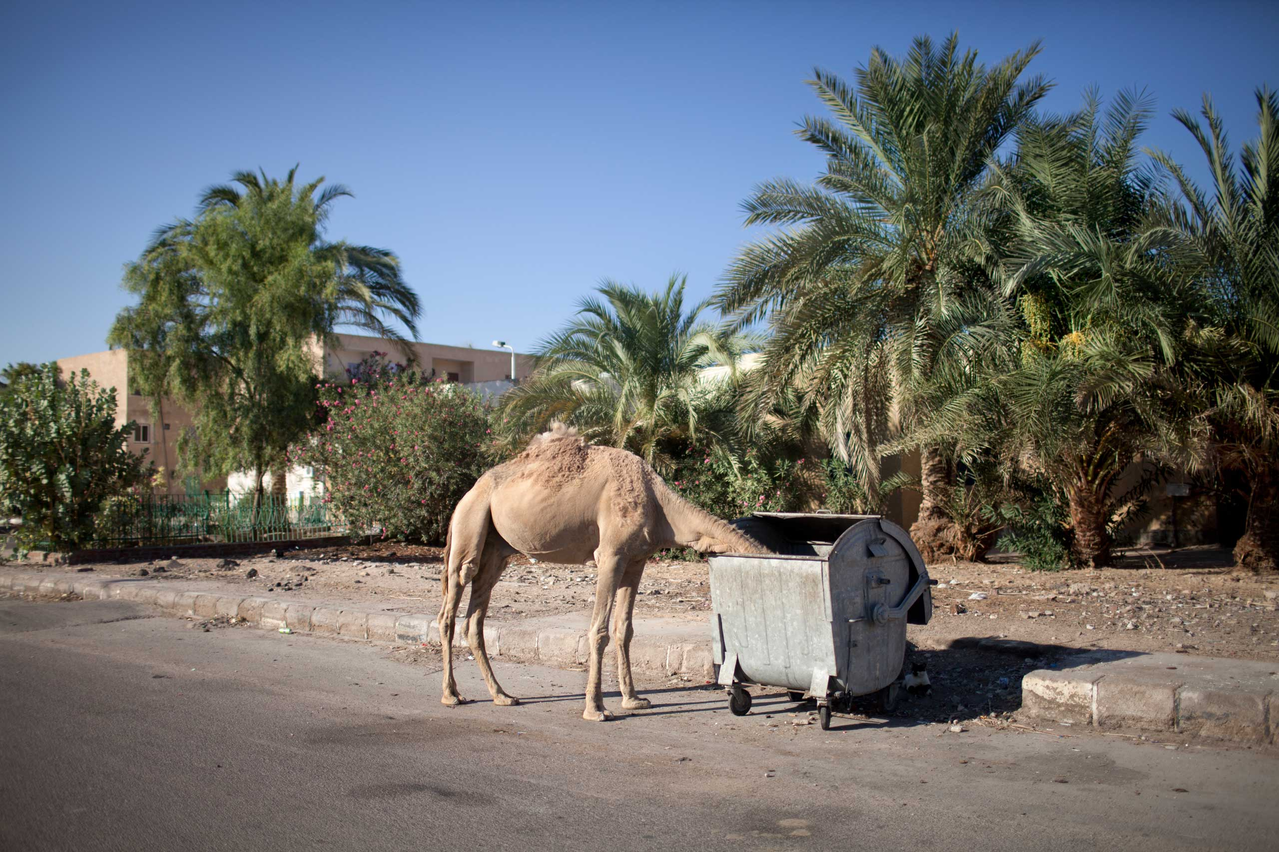 A stray camel, in Nuweiba, Sinai, June 2014.