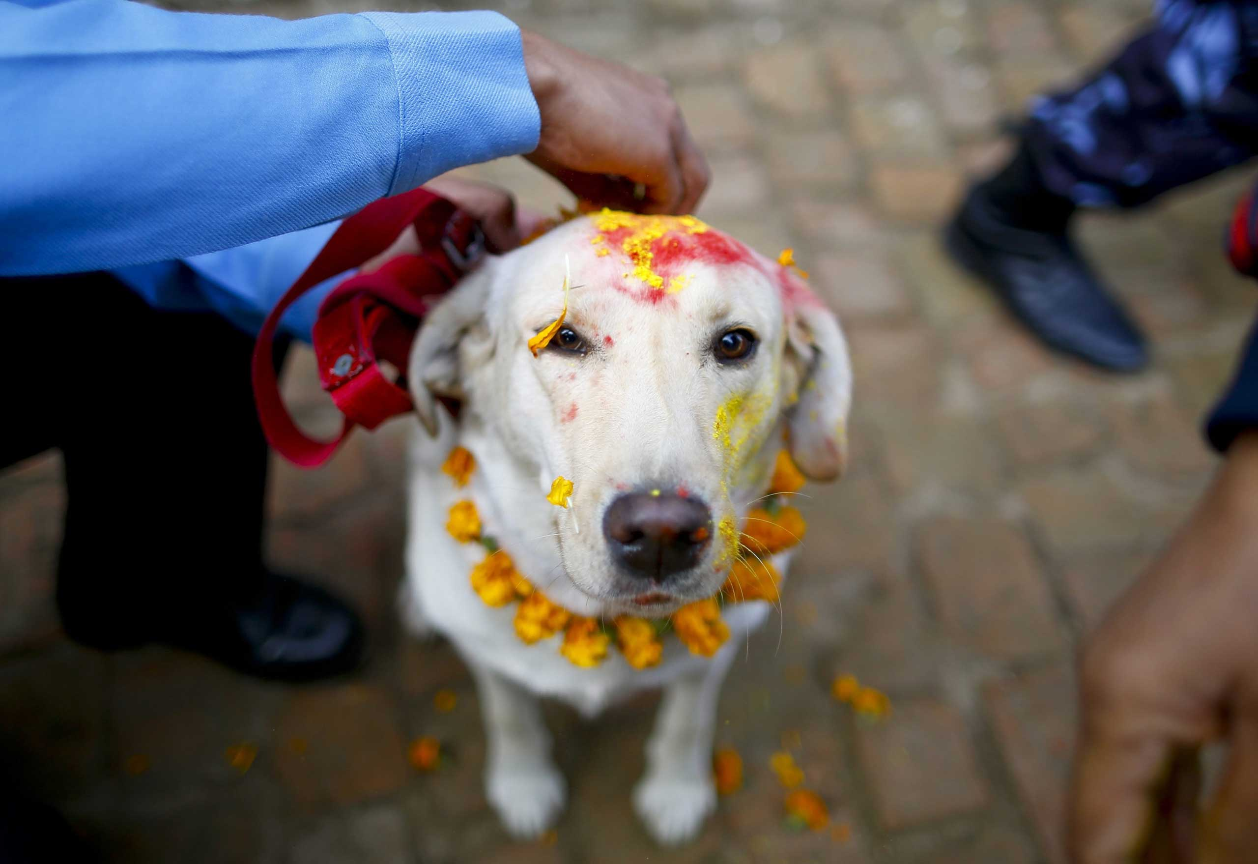 A police officer sprinkles colored powder onto a police dog at Nepal's Central Police Dog Training School during a dog worship day as part of the Diwali festival, in Kathmandu, on Nov. 10, 2015.