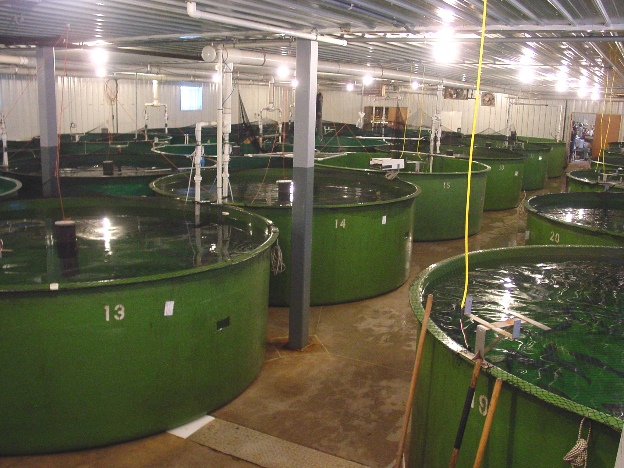 Tanks containing AquaBounty's genetically modified salmon in Waltham, Mass.