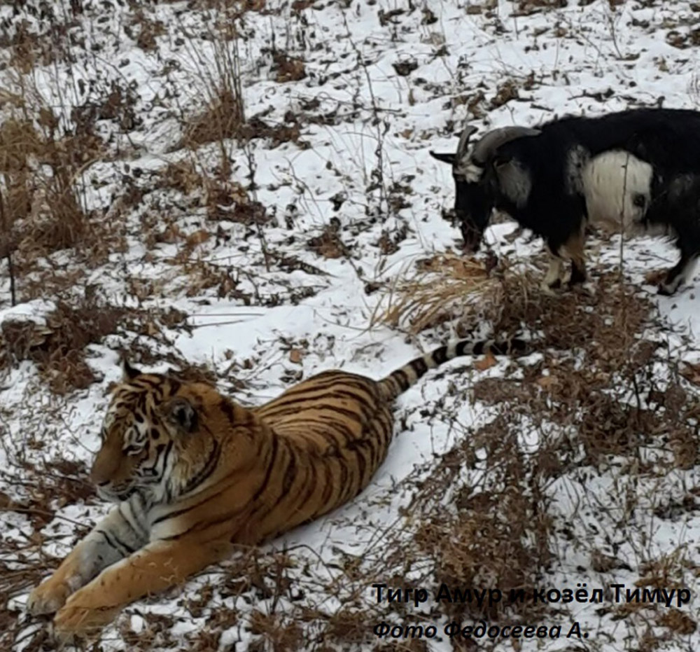 Amur the tiger and Timur the goat at Russia's Primorsky Safari Park.