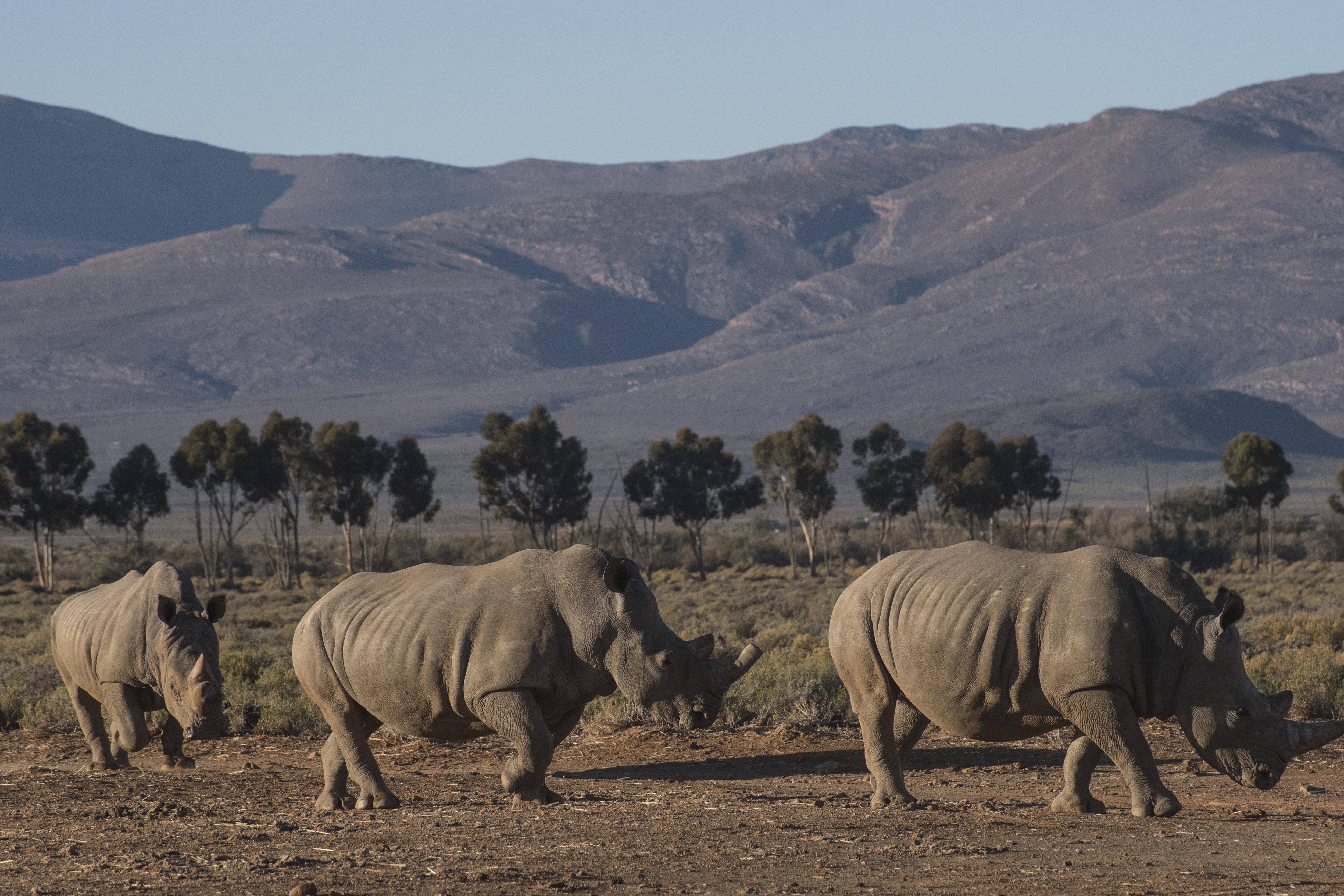Three rhinoceros walk in the Inverdoorn Game Reserve in South Africa on June 06, 2015.
