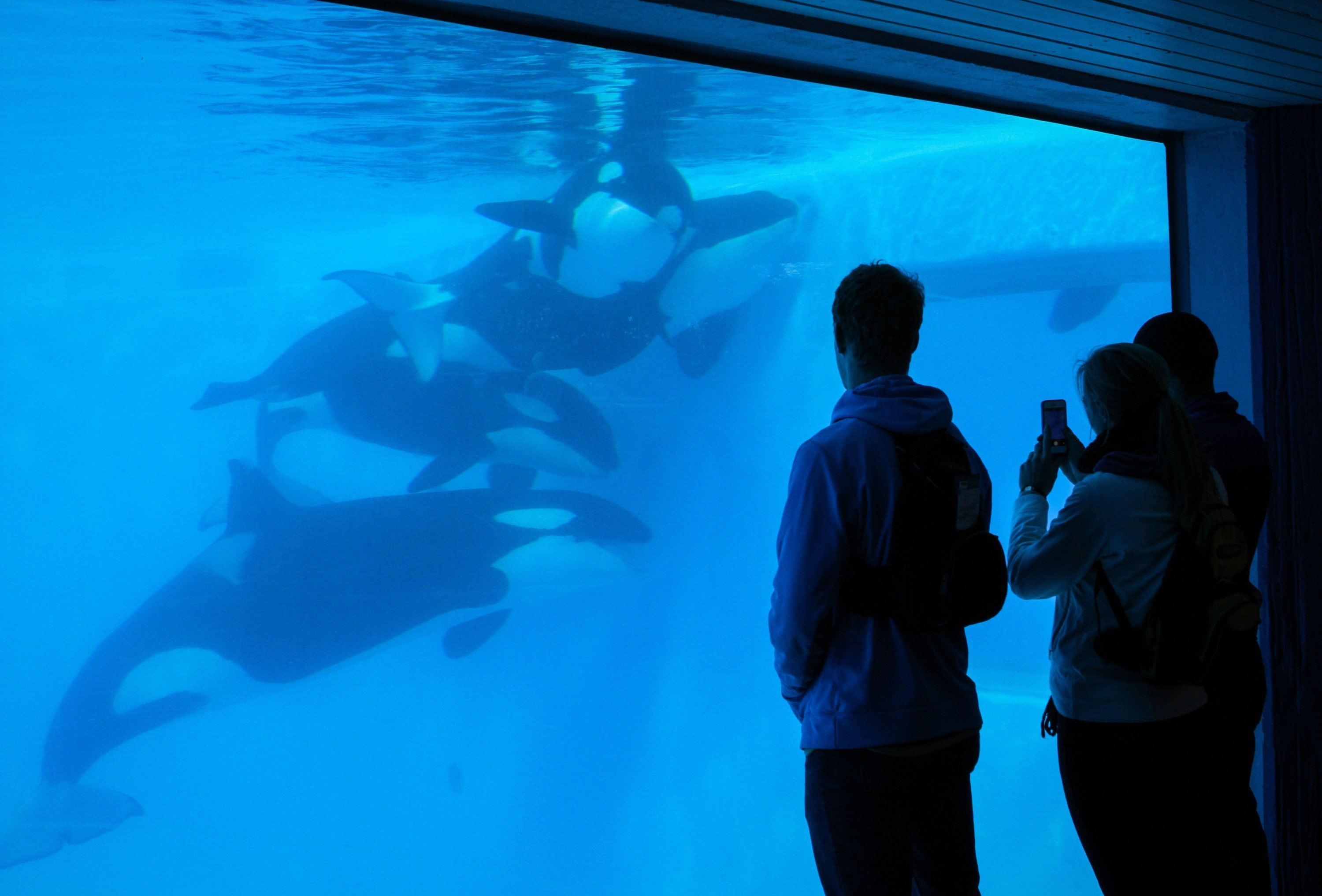 Patrons watch Orcas play at Sea World in Orlando, FL on Jan. 7, 2014.