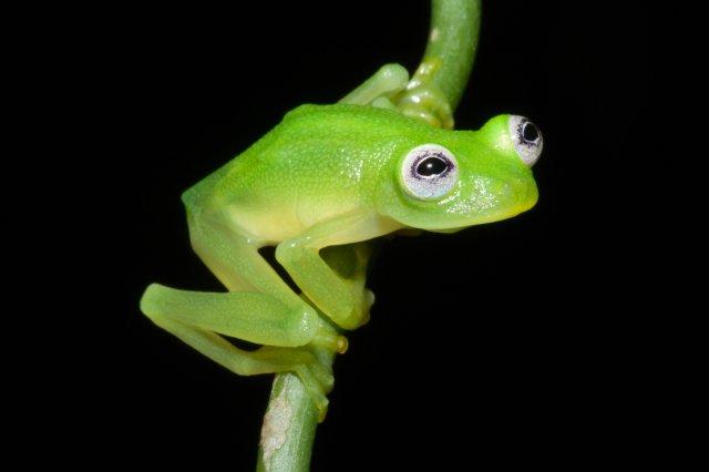 The glass frog, Hyalinobatrachium dianae, found in Costa Rica.