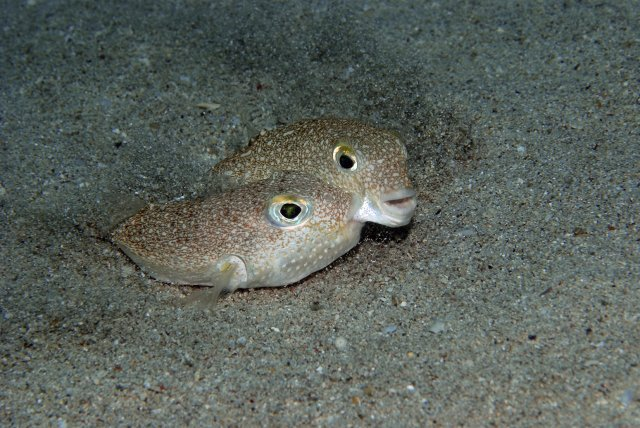 time-top-10-2015-new-species-Torquigener-albomaculosus-Yoji-Okata
