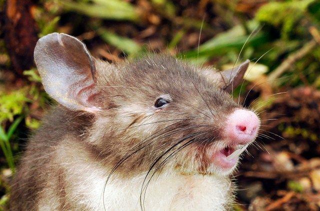 Hog-nosed rat Hyorhinomys stuempkei