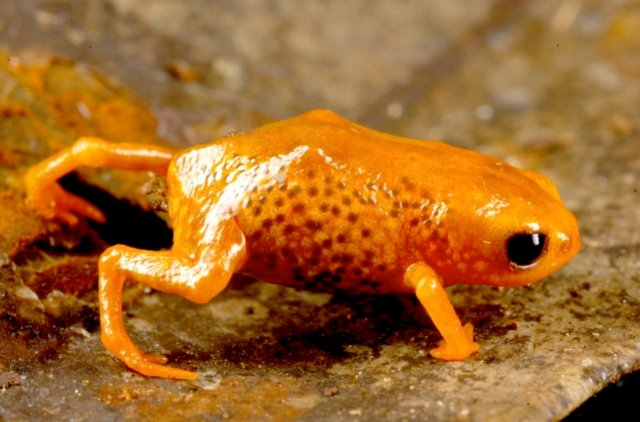 Tiny Brachycephalus Frog