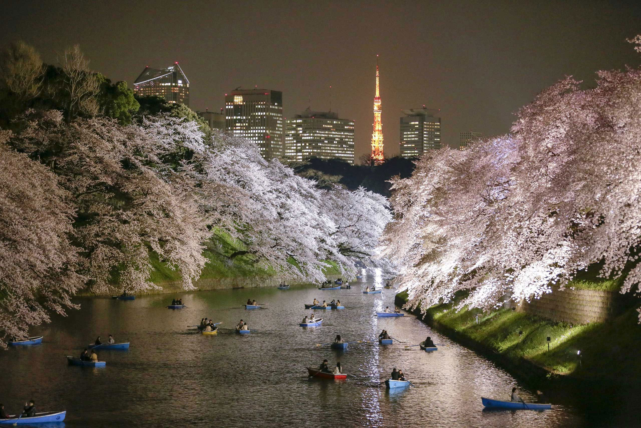 People rowing boats enjoy night view of cherry blossoms in full bloom on Chidorigafuchi moat in Tokyo, Japan. March 30, 2015.