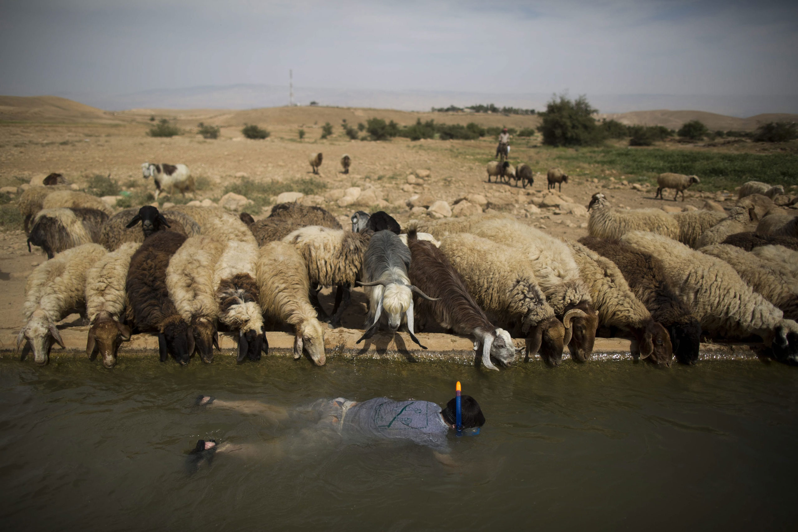 A young Israeli settler snorkels as sheep belonging to a Palestinian shepherd drink water from a spring located in the Jordan Valley near the Palestinian village of Uja, near the West Bank town of Jericho. April 8, 2015.