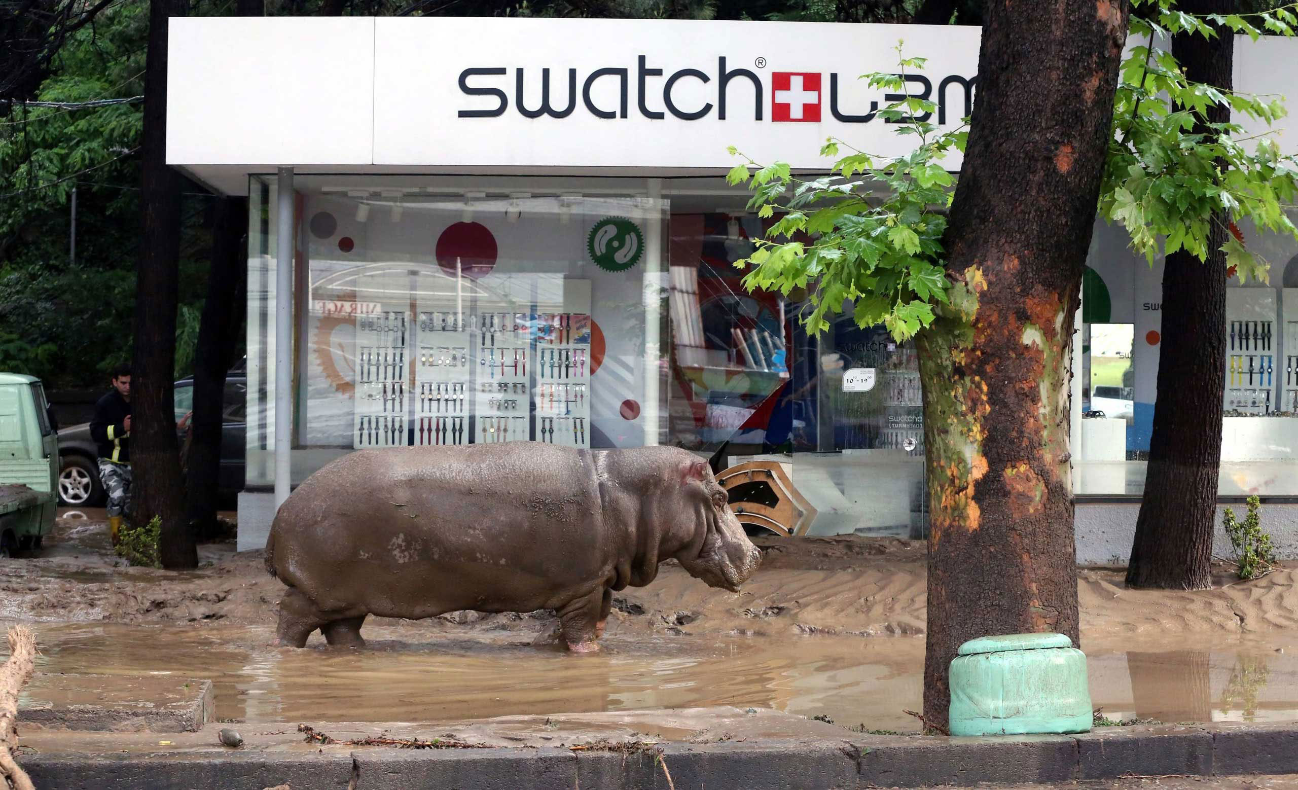 A runaway hippo on the loose in the streets of Tbilisi, Georgia. June, 14 2015. Portions of the Tbilisi's zoo were destroyed, due to severe flooding in the capital,                                allowing many animals - including six tigers, six lions and eight bears - to break free of their enclosures and roam the streets.