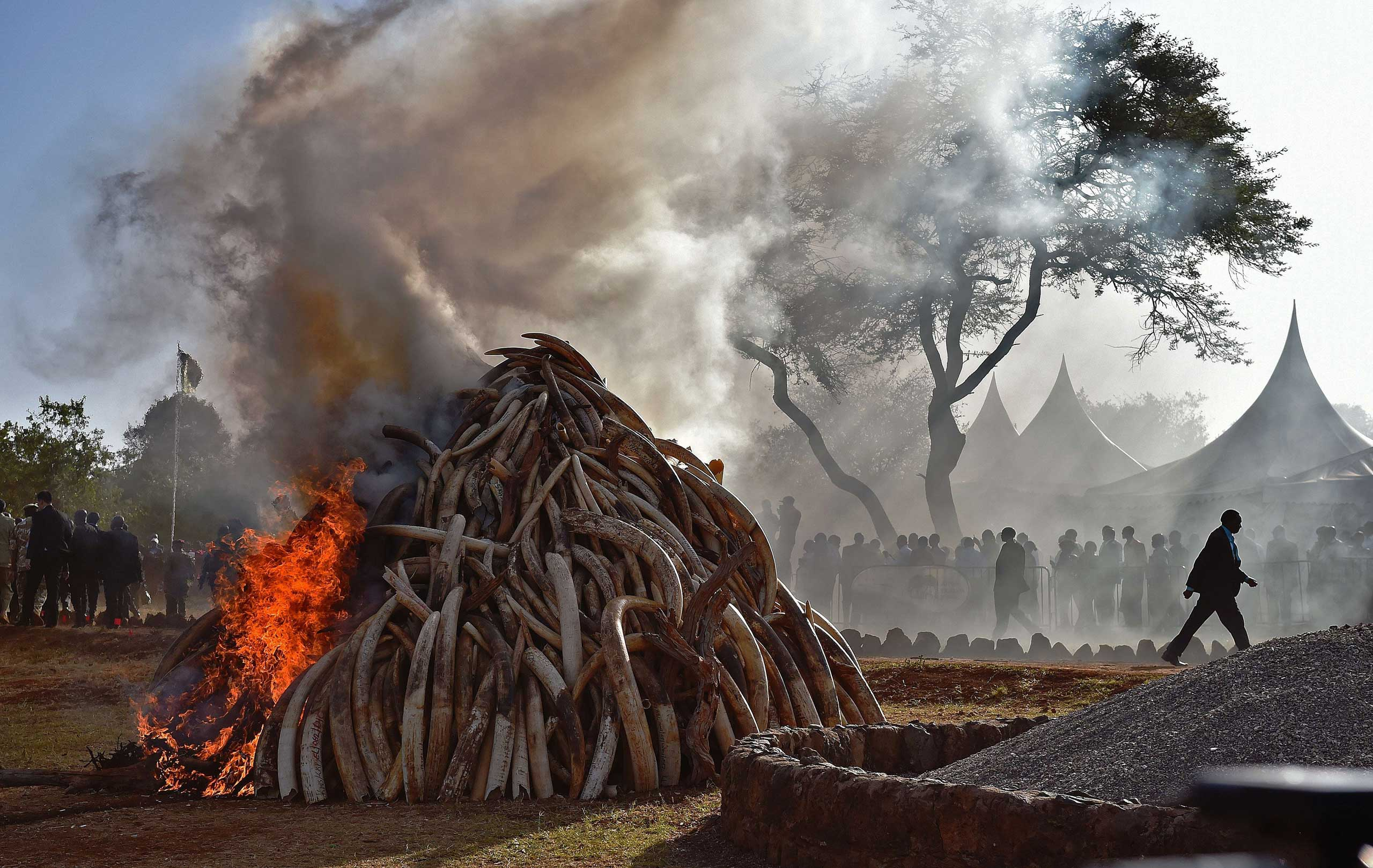 People stand near a burning pile of 15 tons of elephant ivory seized in Nairobi National Park in Nairobi, Kenya. Kenyan President Uhuru Kenyatta set fire to a giant pile of elephant ivory, vowing to destroy the country's entire stockpile of illegal tusks by the year's end. The 15 tons destroyed was worth some $30 million on the black market and represented up to 1,500 slaughtered elephants. It dwarfs the ivory burned by previous Kenyan leaders. March 3, 2015.