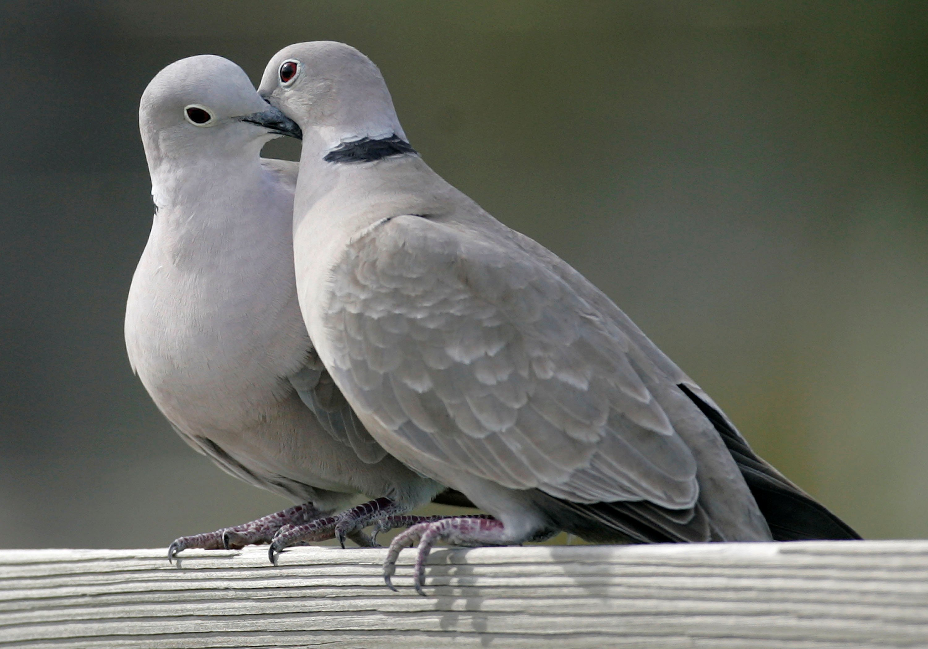 This photo shows two turtle doves in St. George Island, Fla. on Feb. 12, 2009.