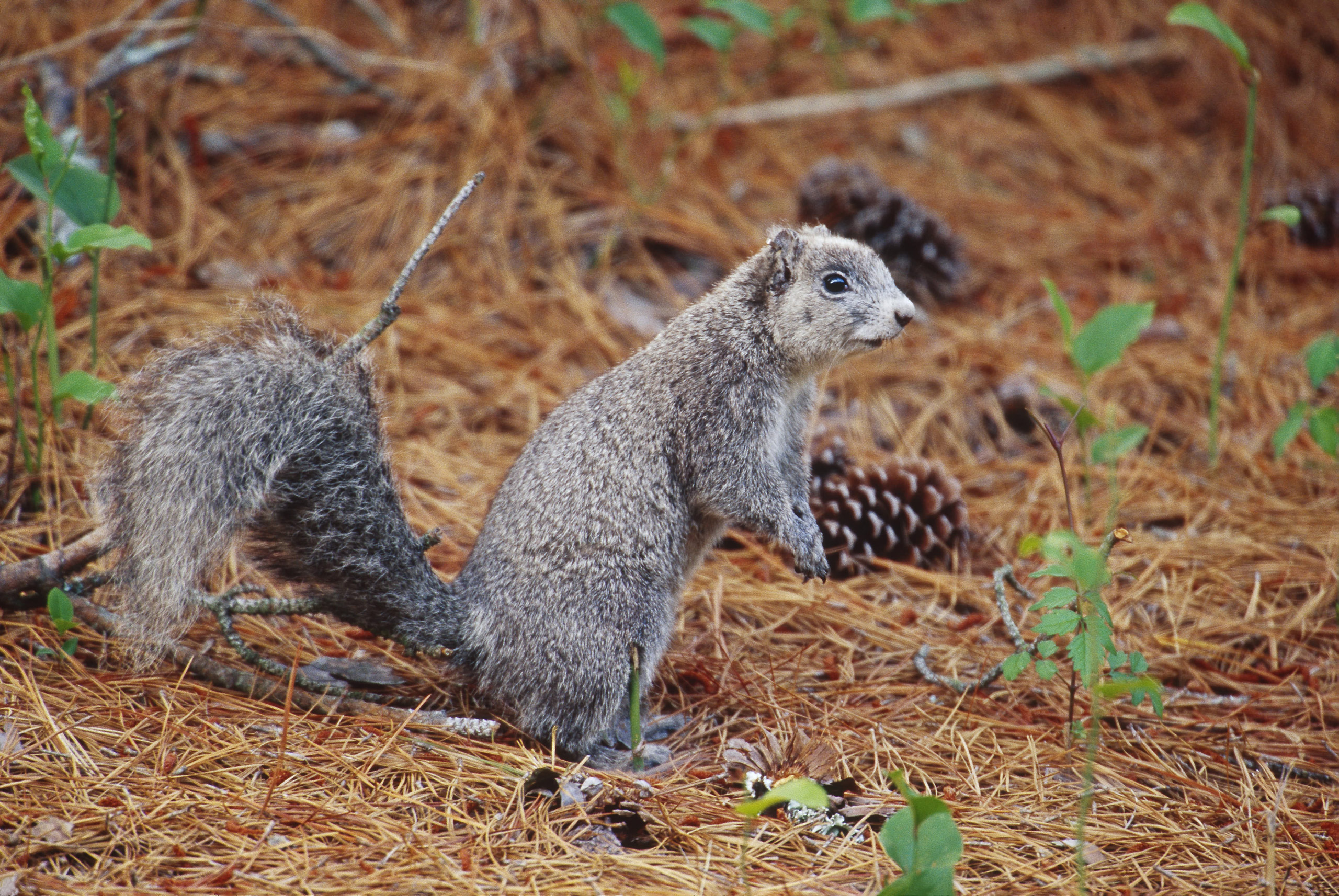 Delmarva Peninsula Fox Squirrel, <i>Sciurus niger cinereus.</i>Status: Delisted due to recovery, in 2015.