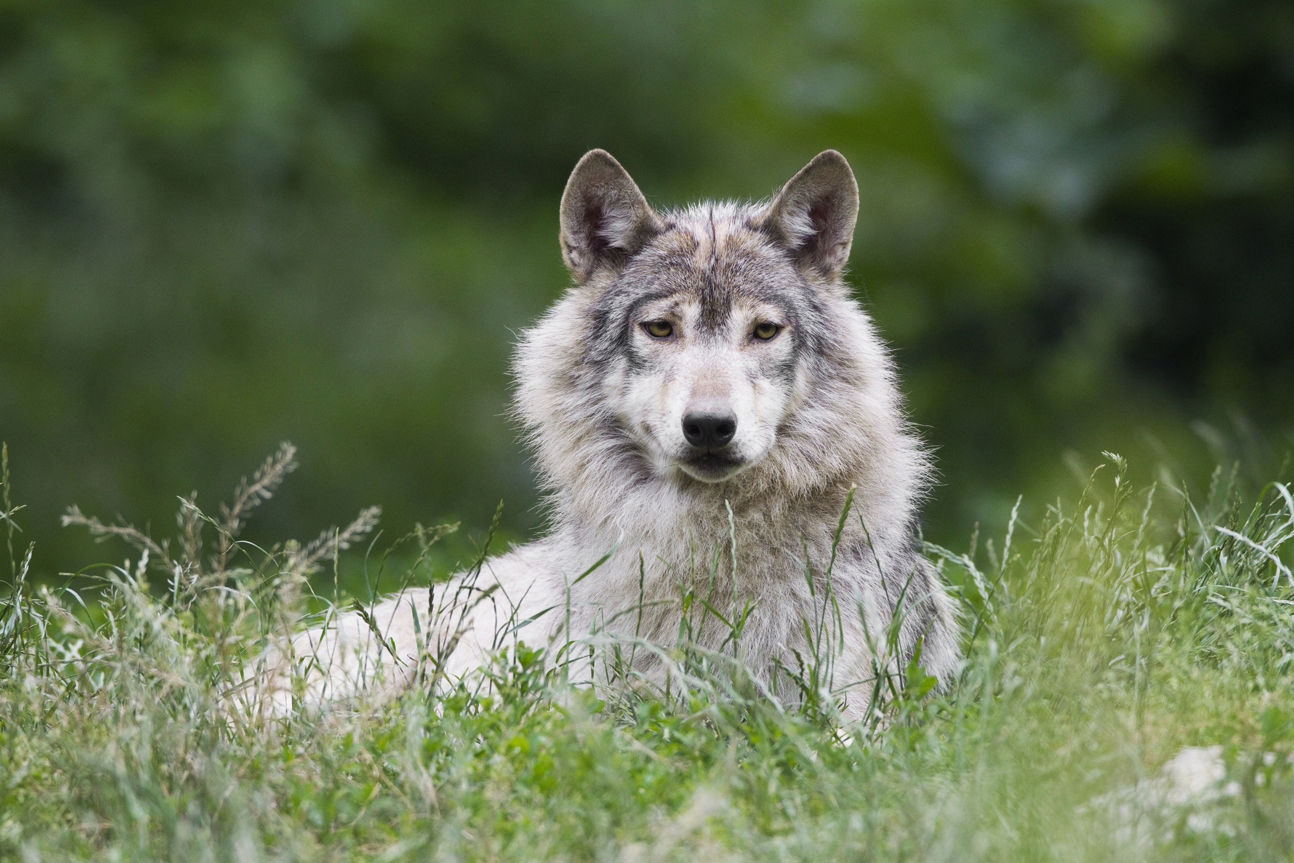"""Timber Wolf, <i>Canis lupus lycaon.</i>Status: Varied. The Gray Wolf is endangered in some portions of the mountain-prairie region, threatened in the Great Lakes region and delisted due to recovery in other areas. Recently, the Eastern Timber Wolf was <a href=""""http://www.livescience.com/25043-eastern-wolves-separate-species.html"""">found</a> to be a separate species from the Gray Wolf, <i>Canis lupus</i>, and the status of the Eastern Wolf was put up for review."""