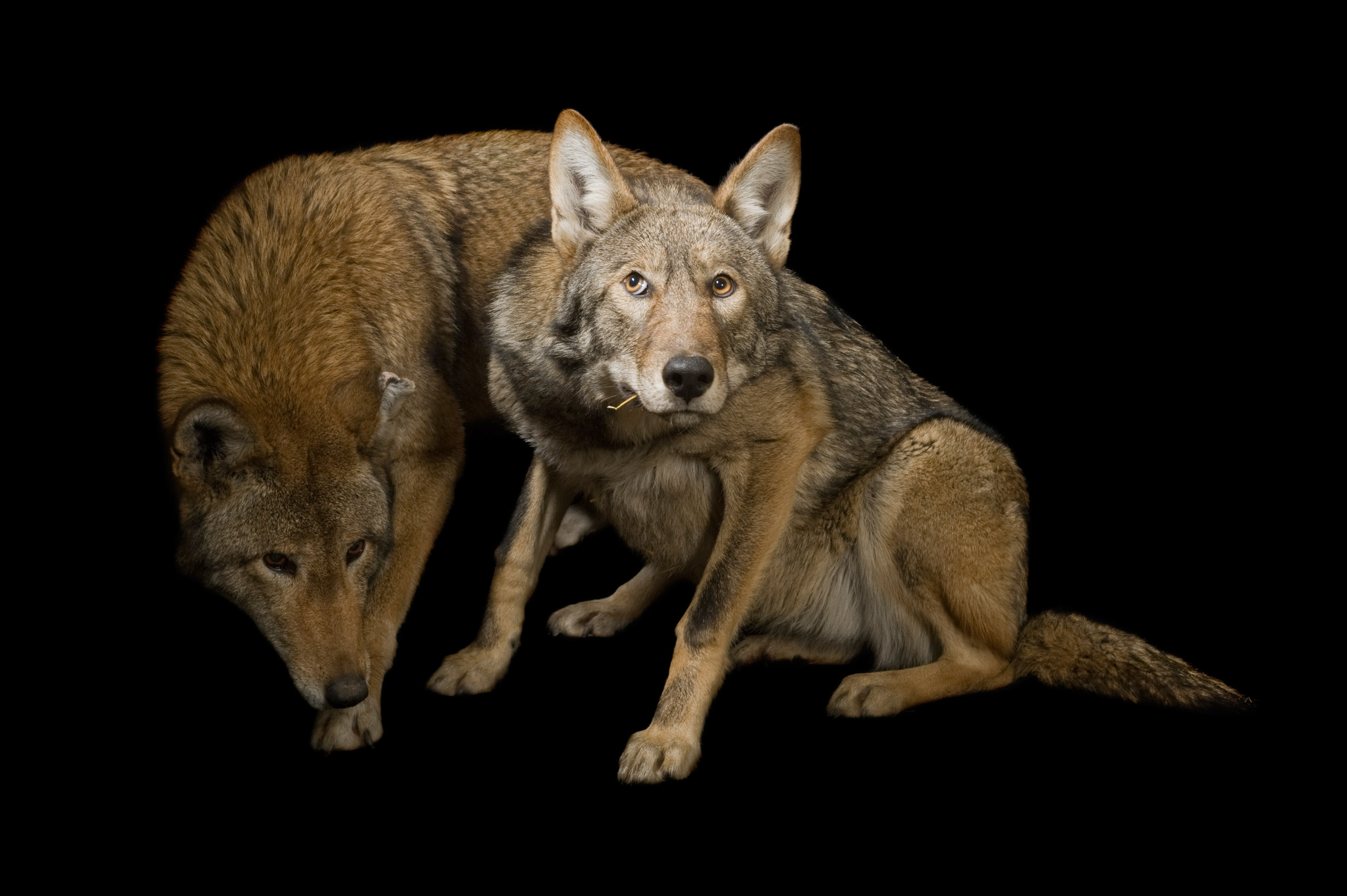 """Red wolves, <i>Canis rufus.</i>Status: Endangered except, as of 1986, a non-essential experimental population in North Carolina and Tennessee. (""""Experimental"""" populations are those that have been reintroduced within the species' historical range but outside the regions where it is currently found. Experimental populations can be deemed either essential or inessential to the species' survival.)"""