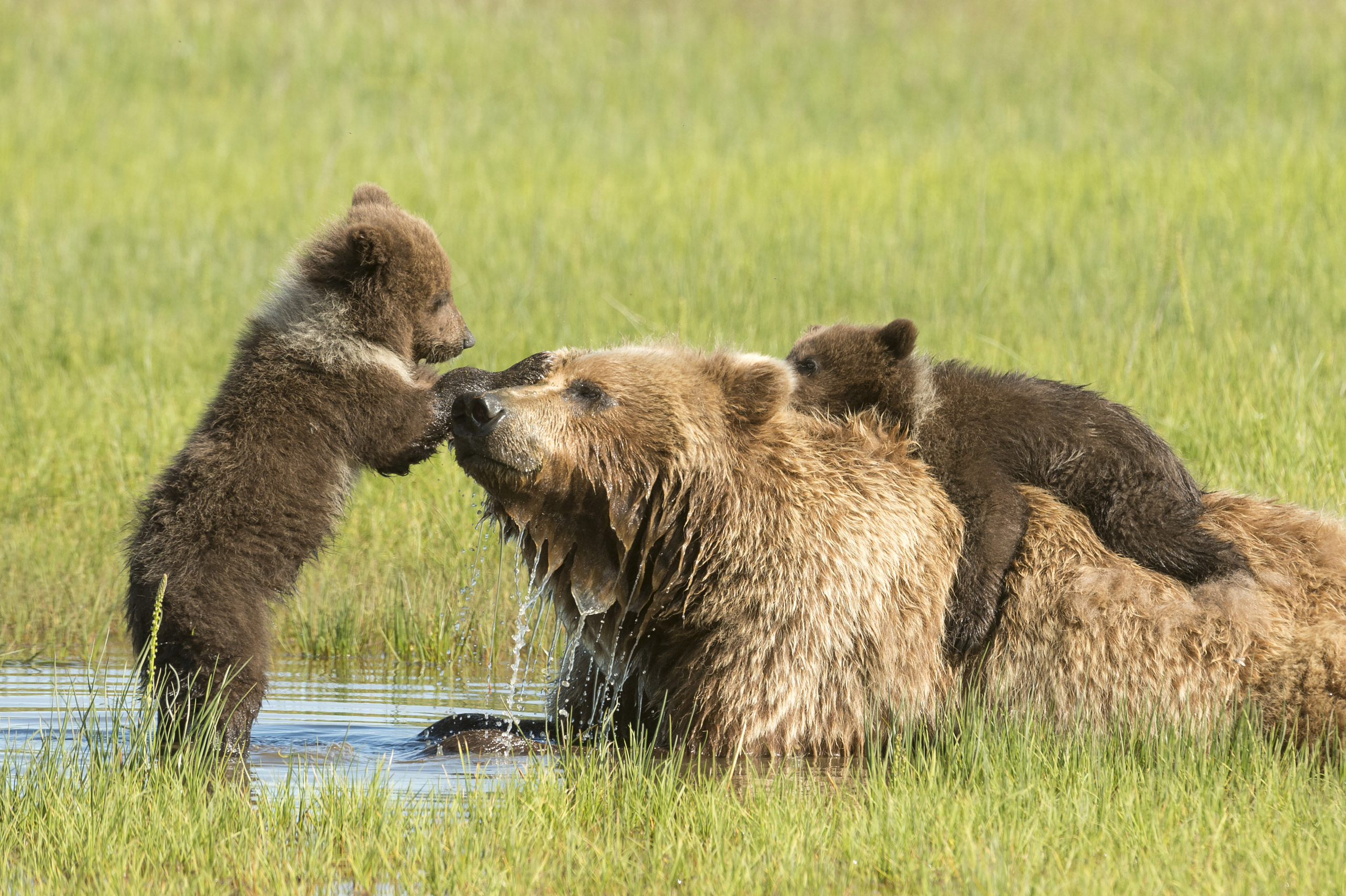 Grizzly bears, <i>Ursus horribilis.</i>Status: Downgraded to 'threatened' status in 1975, with an additional non-essential experimental population in Idaho and several other regional populations under review.