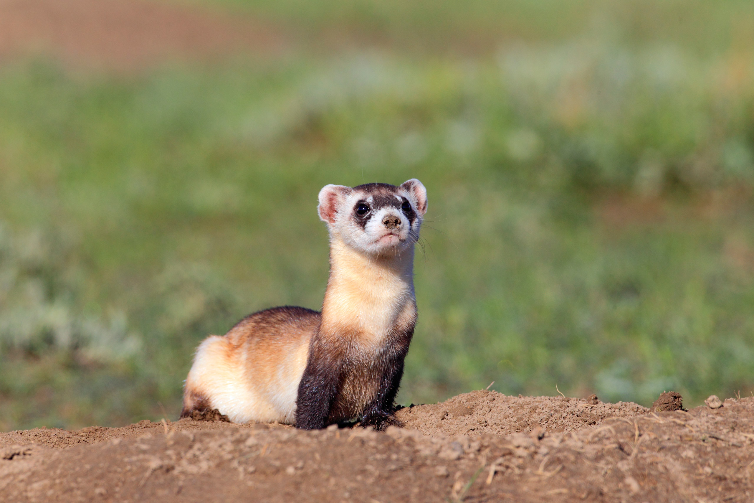 Black-footed Ferret, <i>Mustela nigripes.</i>Status: Endangered except, as of 1991, a non-essential experimental population in Wyoming and portions of other Western states.