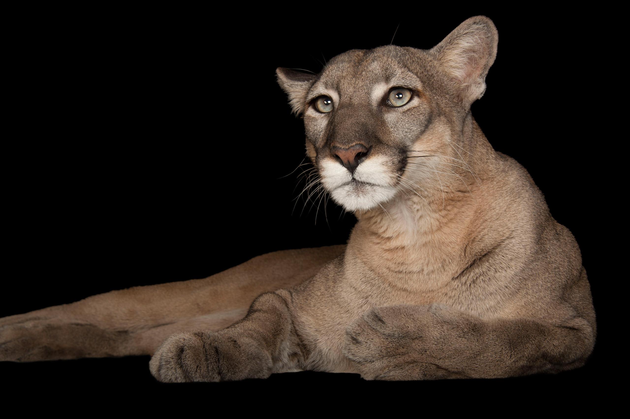 Florida panther, <i>Felis concolor coryi.</i>Status: Endangered.