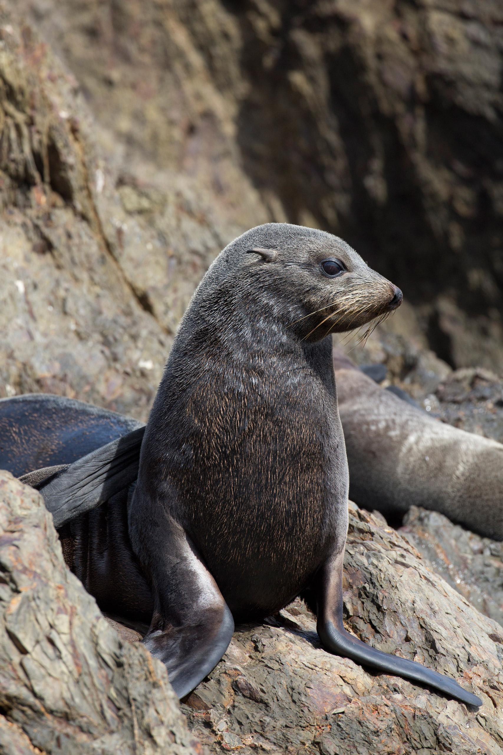 Guadalupe Fur Seal, <i>Arctocephalus philippi townsendi.</i>Status: Threatened.