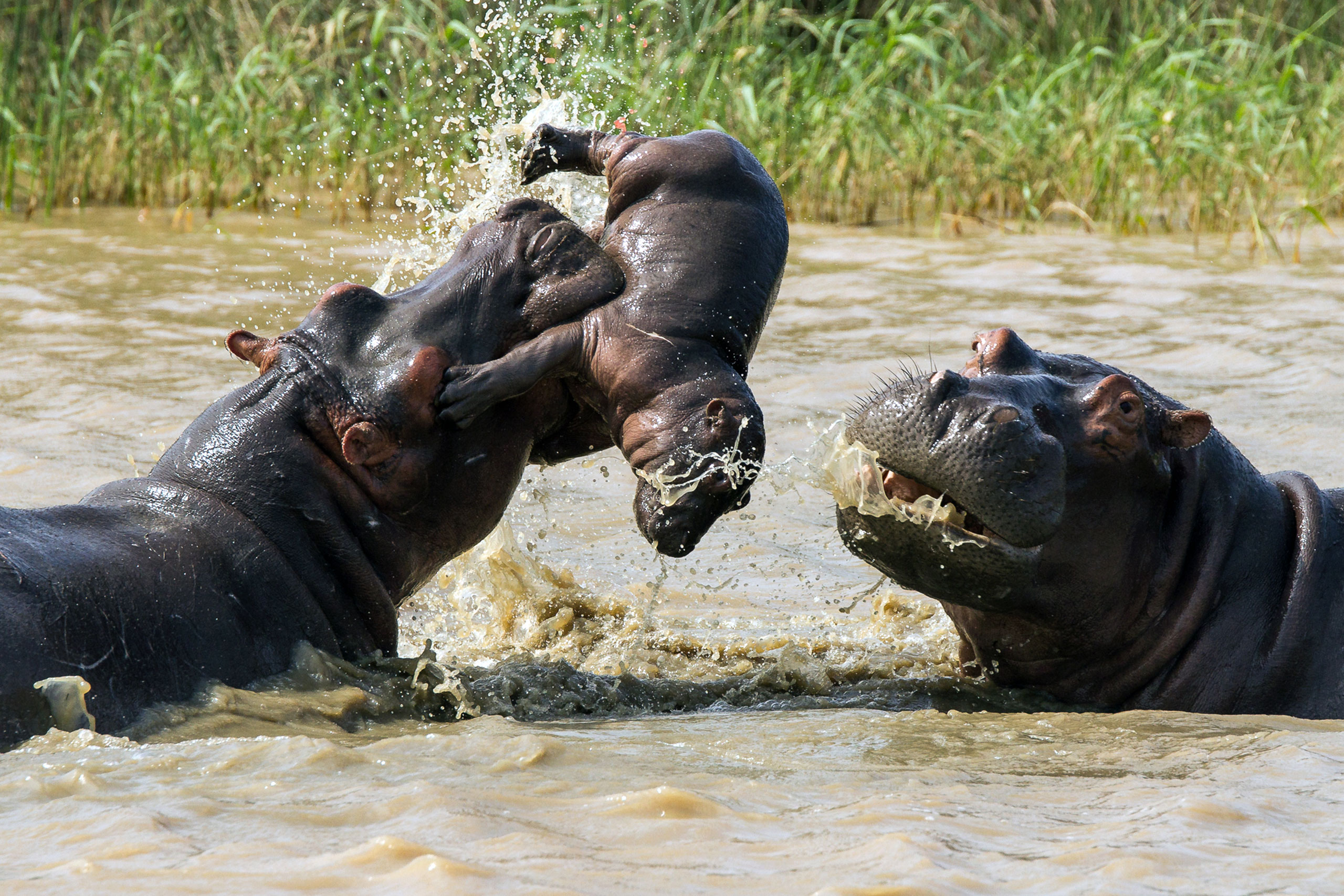 An sub-adult hippo tosses a small calf into the air as the distressed mother watches, iSimangaliso Wetland Park, South Africa, April 4, 2015.
