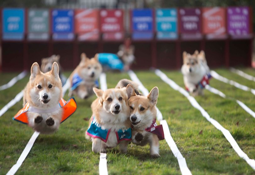Spencer, Alexandra and Victoria (from left) three of 10 corgis racing against each other, battle it out for first place in the Ladbrokes Barkingham Palace Gold Cup Royal Corgi Race in Bedford Square, London, in the hope of determining the name of the next royal baby, ahead of the Duchess of Cambridge's April due date. The baby was named Alexandra. March 19, 2015.