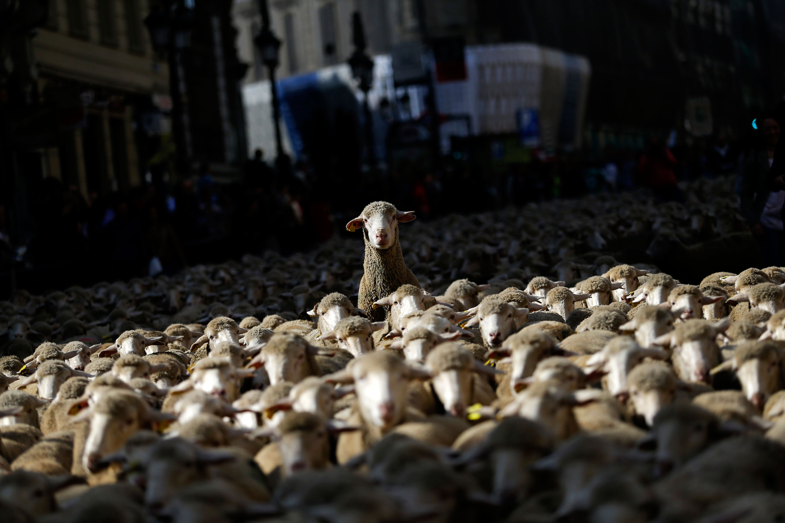 Sheep are led by shepherds through Madrid city center, Spain, Oct. 25, 2015.                                The flock of around 2,000 sheep is guided through Madrid streets in defense of ancient grazing, droving and migration rights increasingly threatened by urban sprawl and modern agricultural practices.