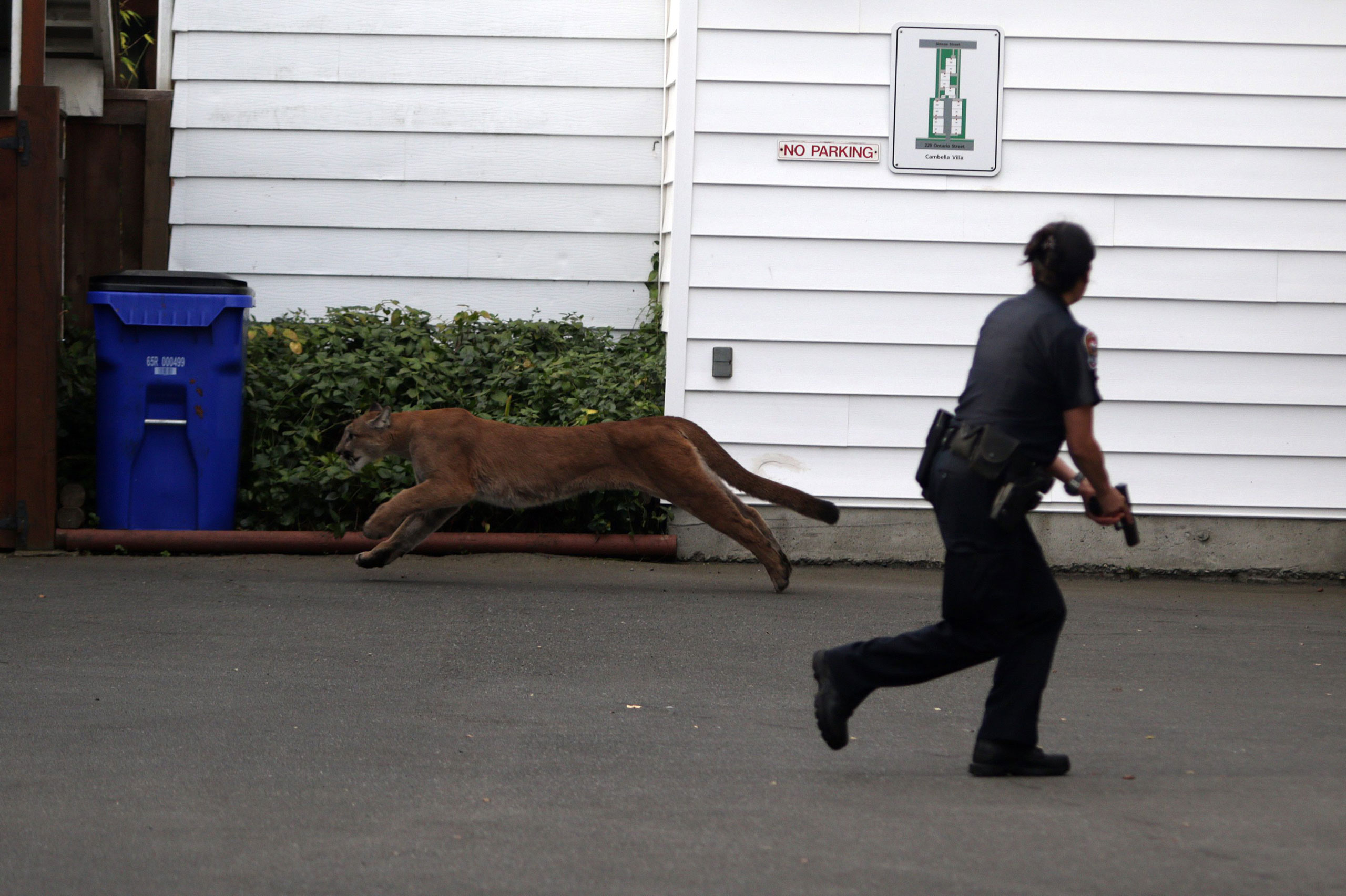 A police officer with her gun drawn is caught off guard as a wild cougar runs by in the parking lot of an apartment building in Victoria, Canda, Oct. 5, 2015.