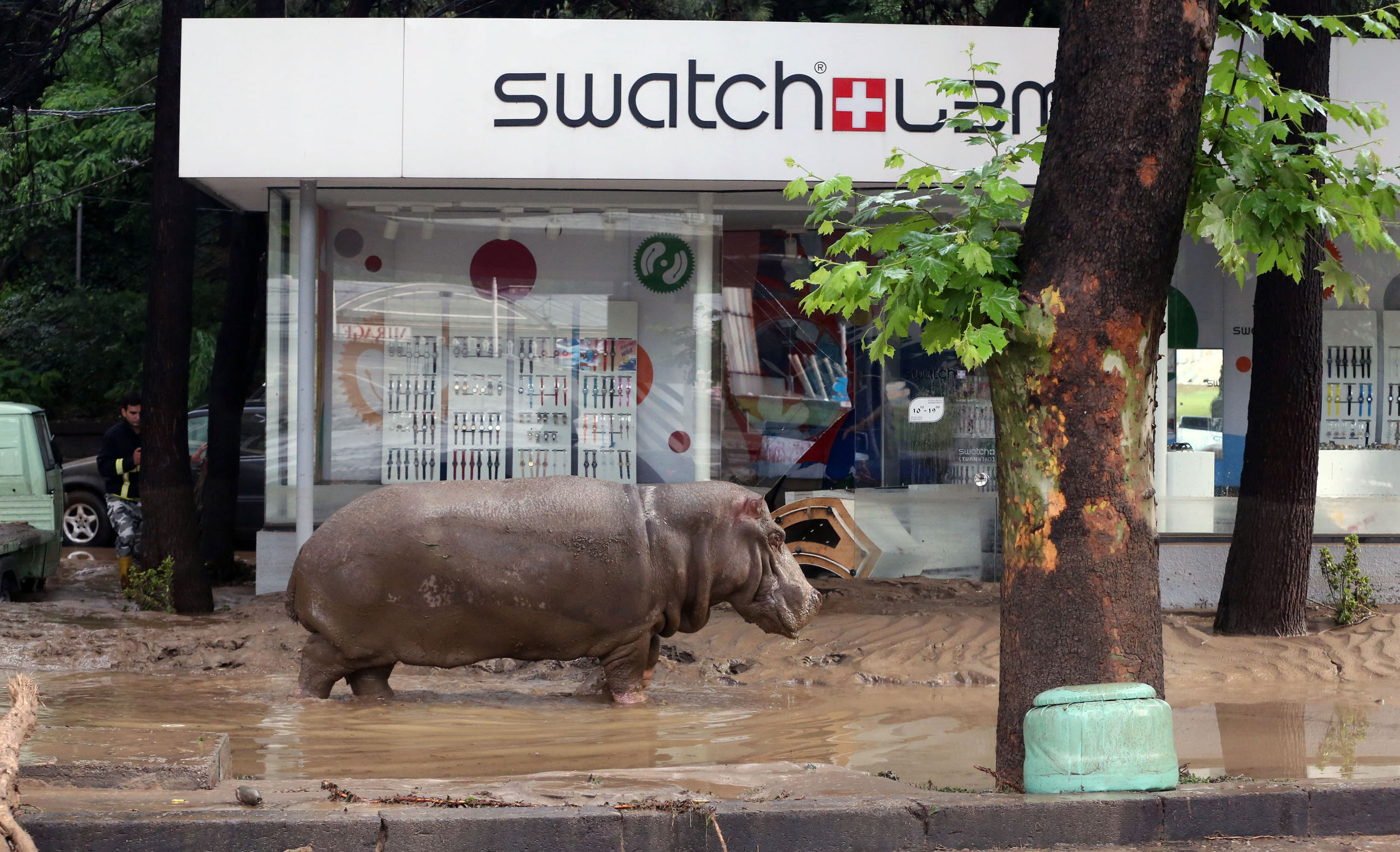 A hippopotamus stands in the mud in front of a Swatch watch kiosk after it escaped from a flooded zoo in Tbilisi, Georgia, June 14, 2015.