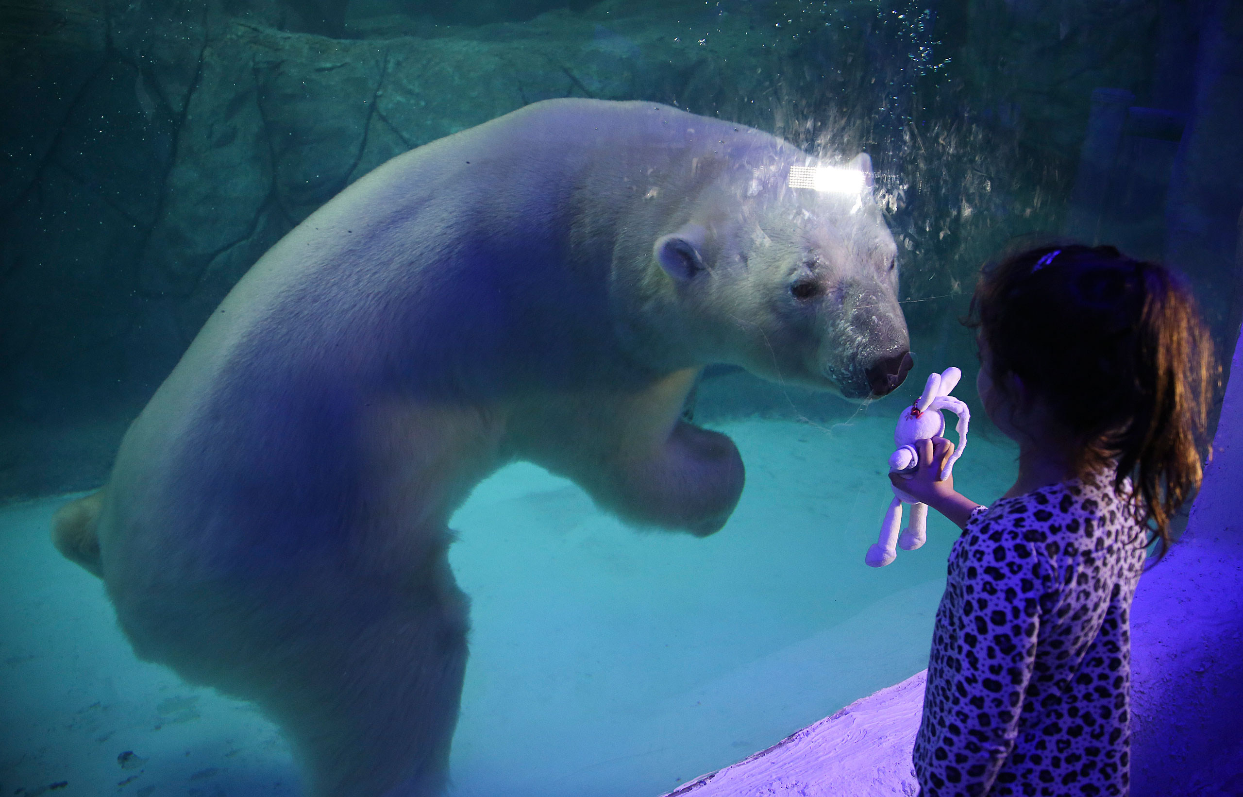 A young visitor holds up her toy bunny to the aquarium glass in front of Aurora the Russian polar bear at the Sao Paulo Aquarium, Brazil, April 16, 2015.